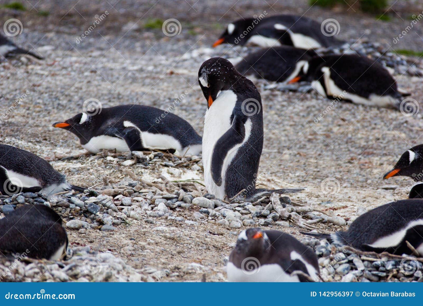 Αποικία Jackass penguin στη Νότια Αμερική