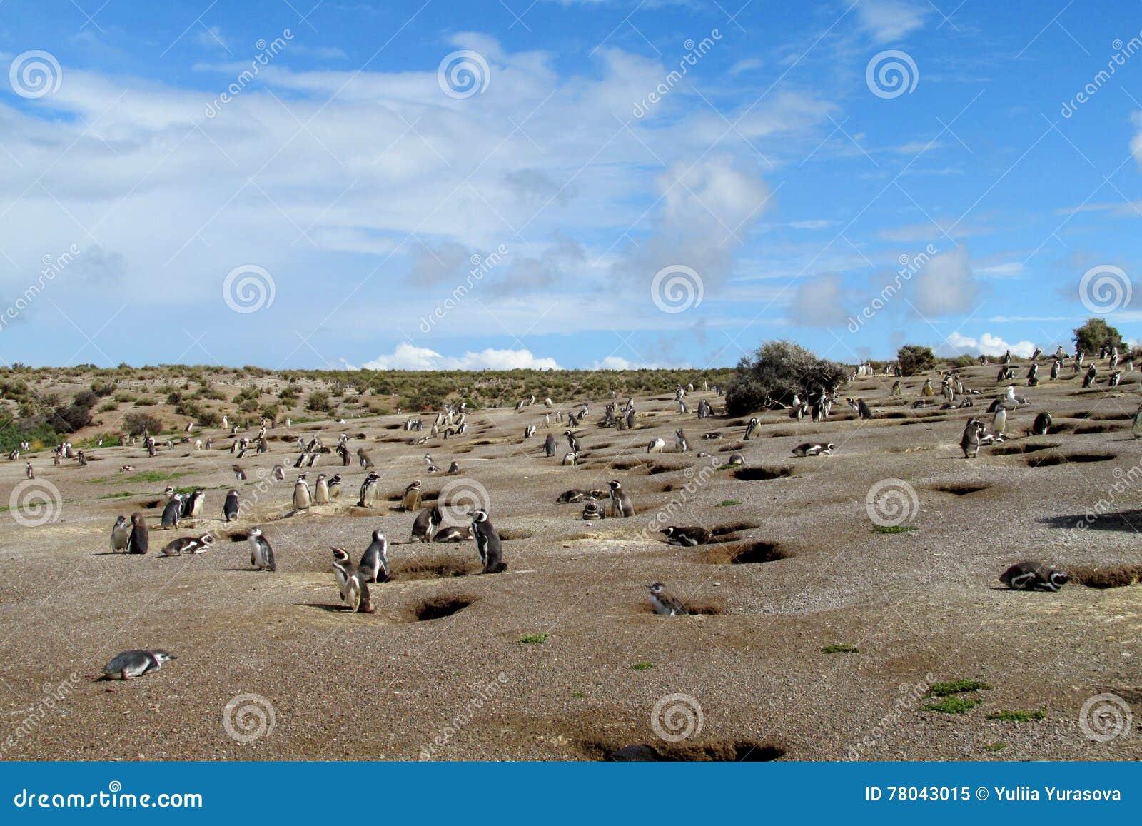 Αποικία Magellan penguins κοντά στα λαγούμια