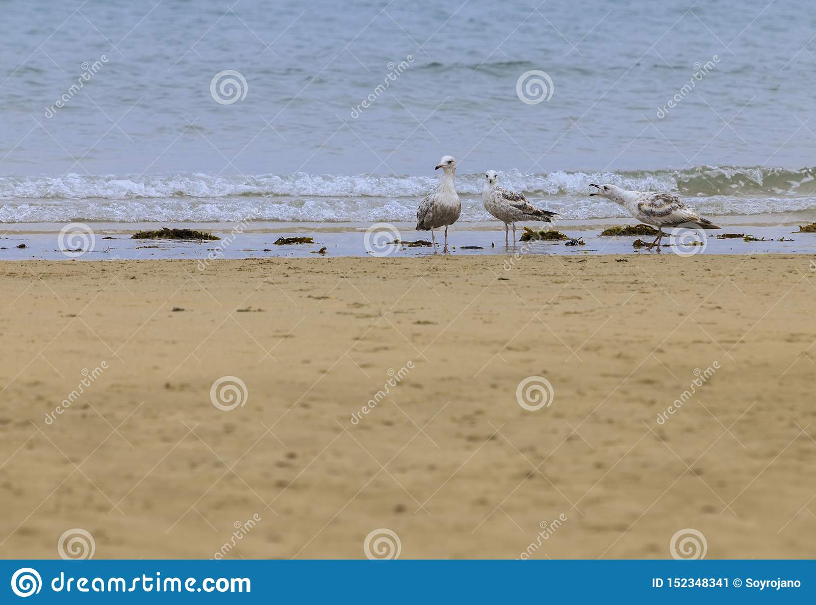 Αποκήρυξη 3 seagulls Laridae
