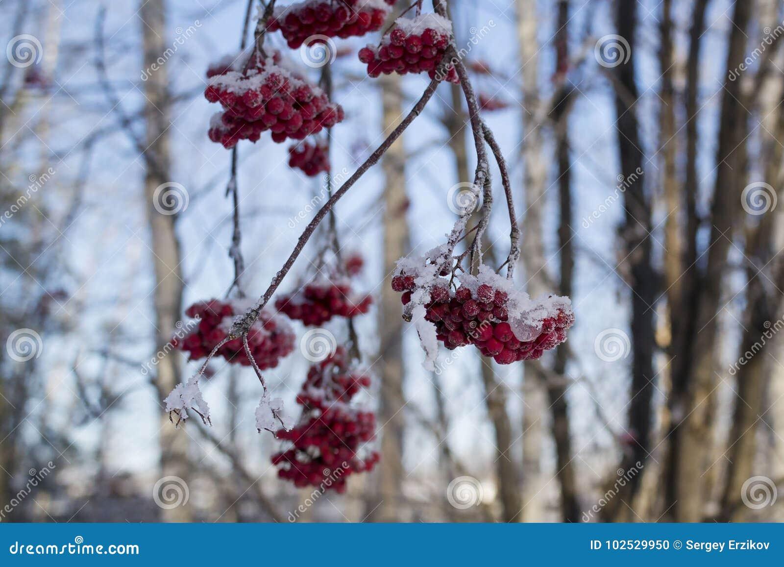 Αποκλεισμένοι από τα χιόνια κλάδοι σορβιών με τις δέσμες του κόκκινου μούρου