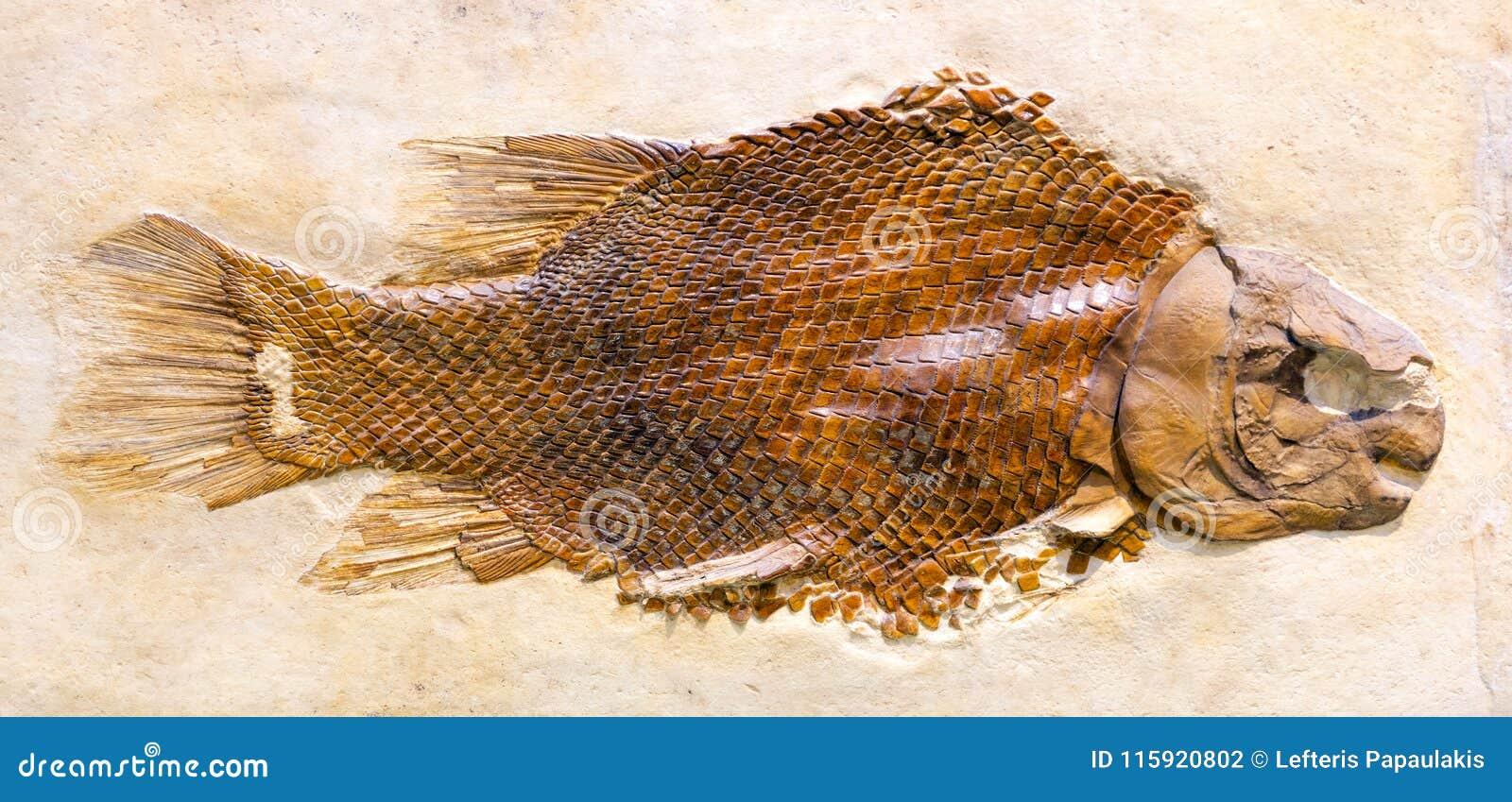 Απολίθωμα Lepidotes Maximus, ένα εκλείψας ψάρι από τη ιουρασική περίοδο