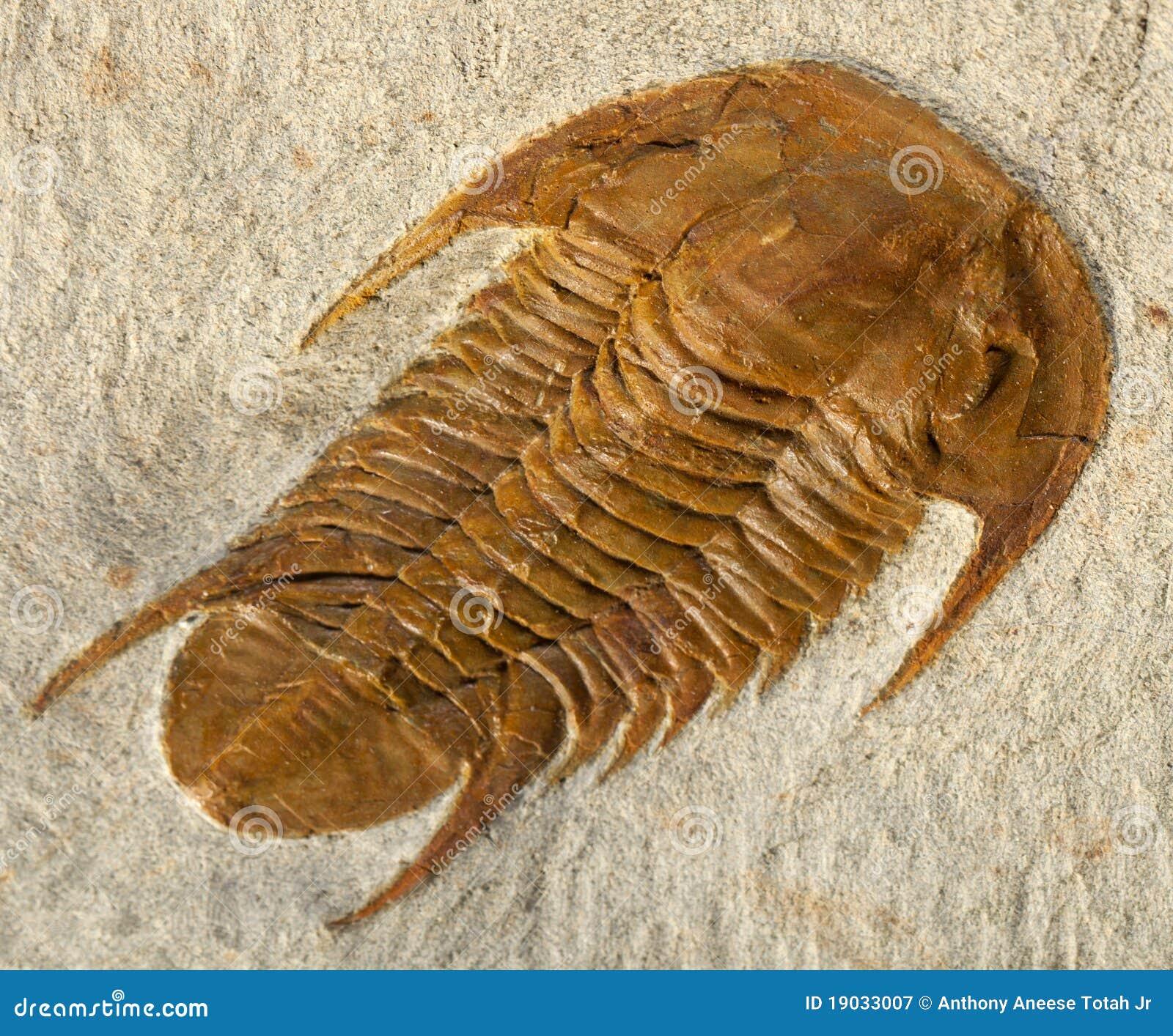απολιθωμένος τριλοβίτη&sigm