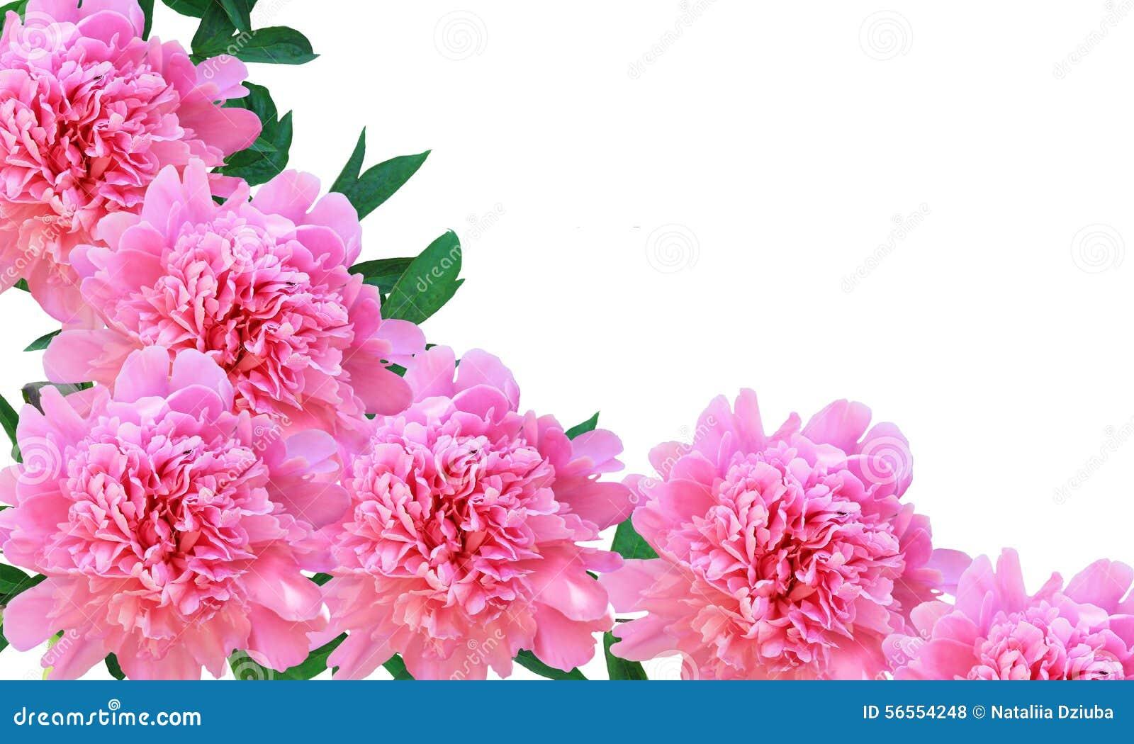 Download Απομονωμένα Peony λουλούδια με τα φύλλα Στοκ Εικόνες - εικόνα από πλαίσιο, αποκοπή: 56554248