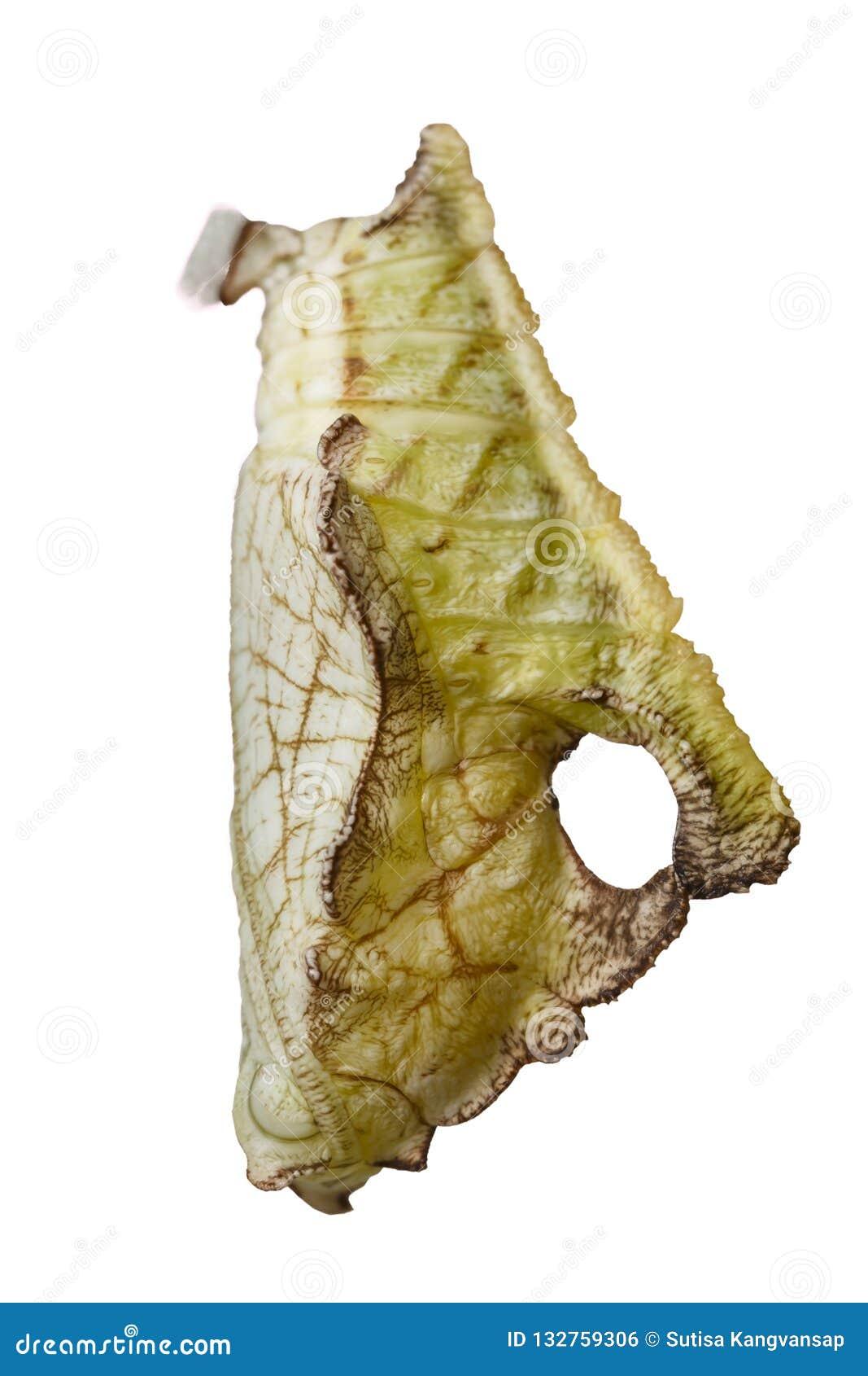 Απομονωμένη χρυσαλίδα της τιγρέ πεταλούδας Pseudergolis wedah στο W
