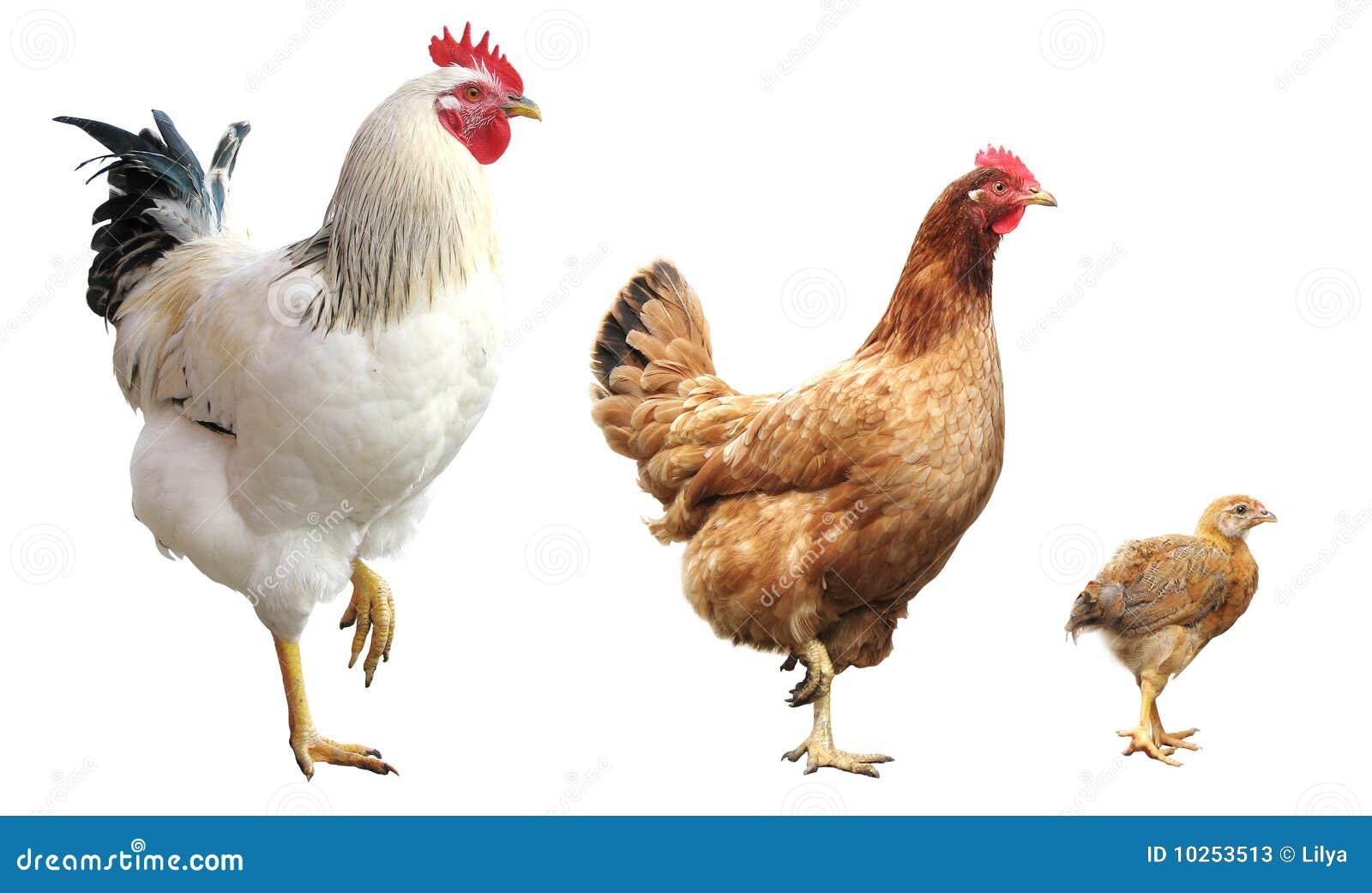 απομονωμένος κότα κόκκορ&a