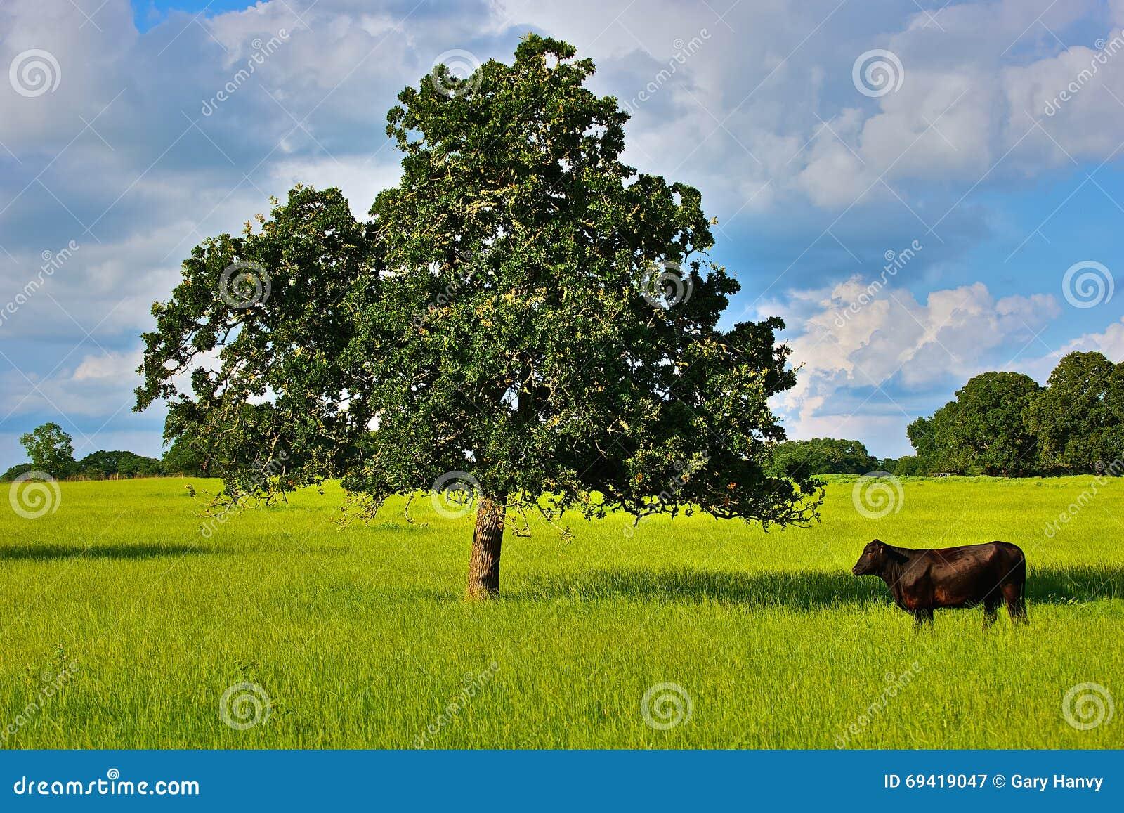 Απομονωμένος ταύρος και δρύινο δέντρο στο έδαφος αγροκτημάτων του Τέξας