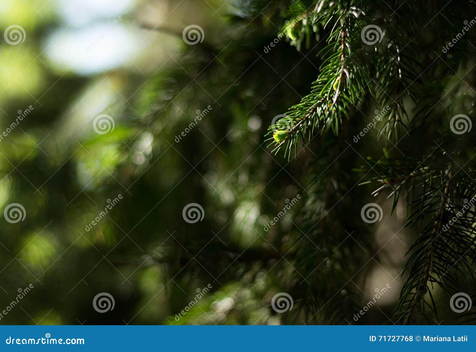 απομονωμένο έλατο λευκό δέντρων