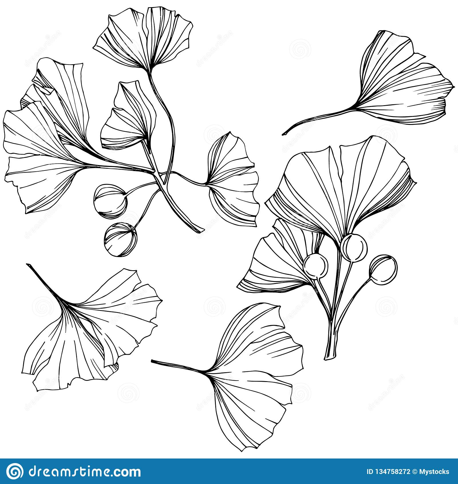 Απομονωμένο διάνυσμα στοιχείο απεικόνισης ginkgo Φύλλωμα βοτανικών κήπων φυτών φύλλων Γραπτή χαραγμένη τέχνη μελανιού
