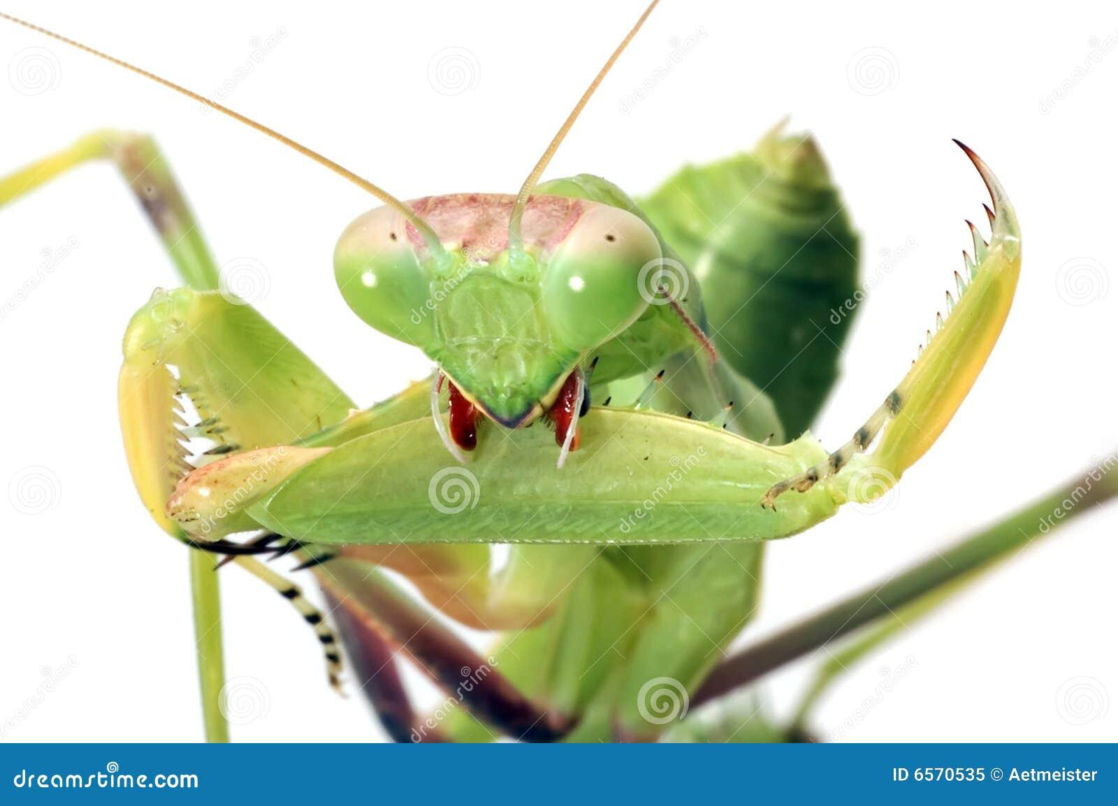 απομονωμένο λευκό mantis