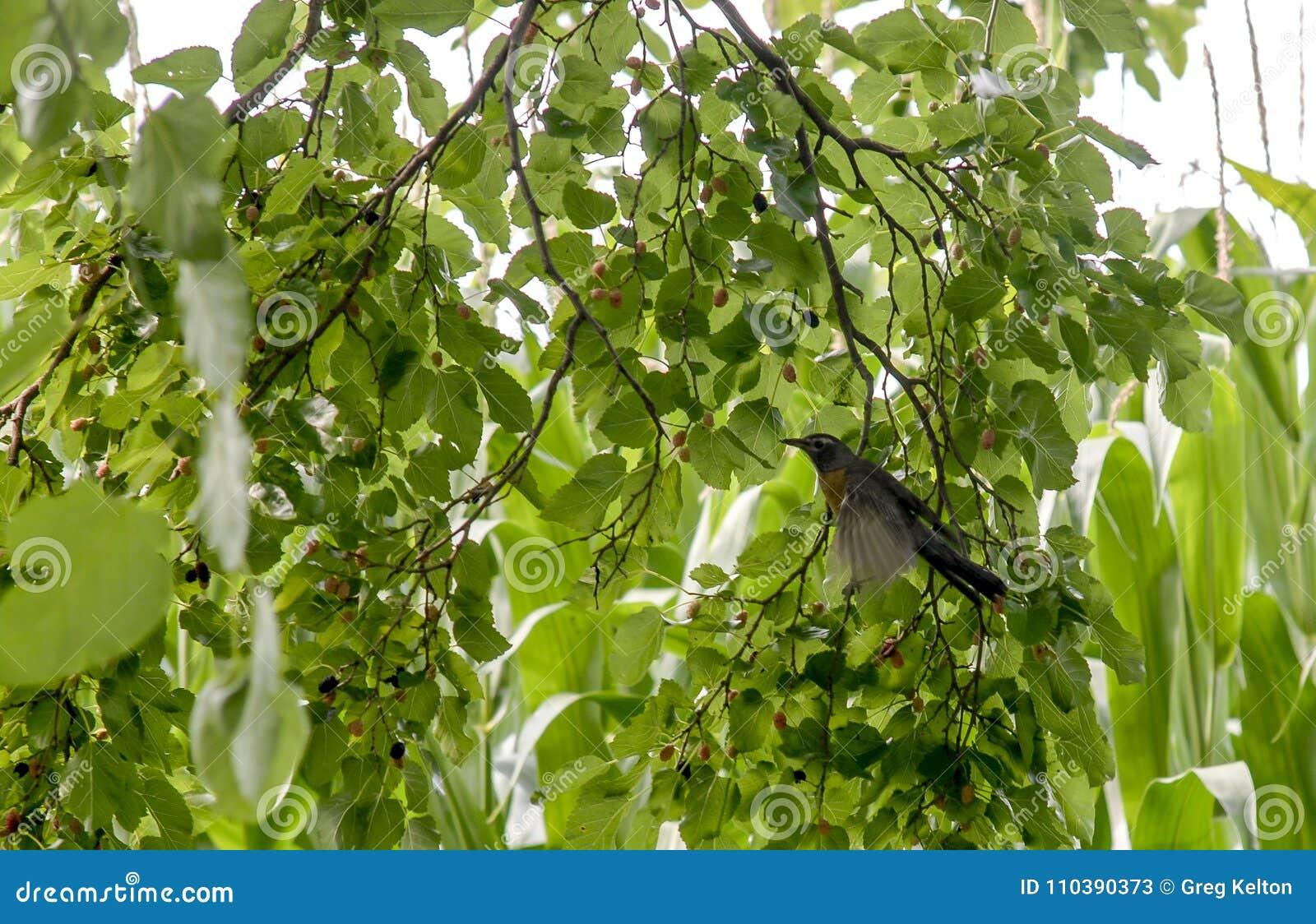 Απομονωμένο πουλί στο δέντρο μούρων