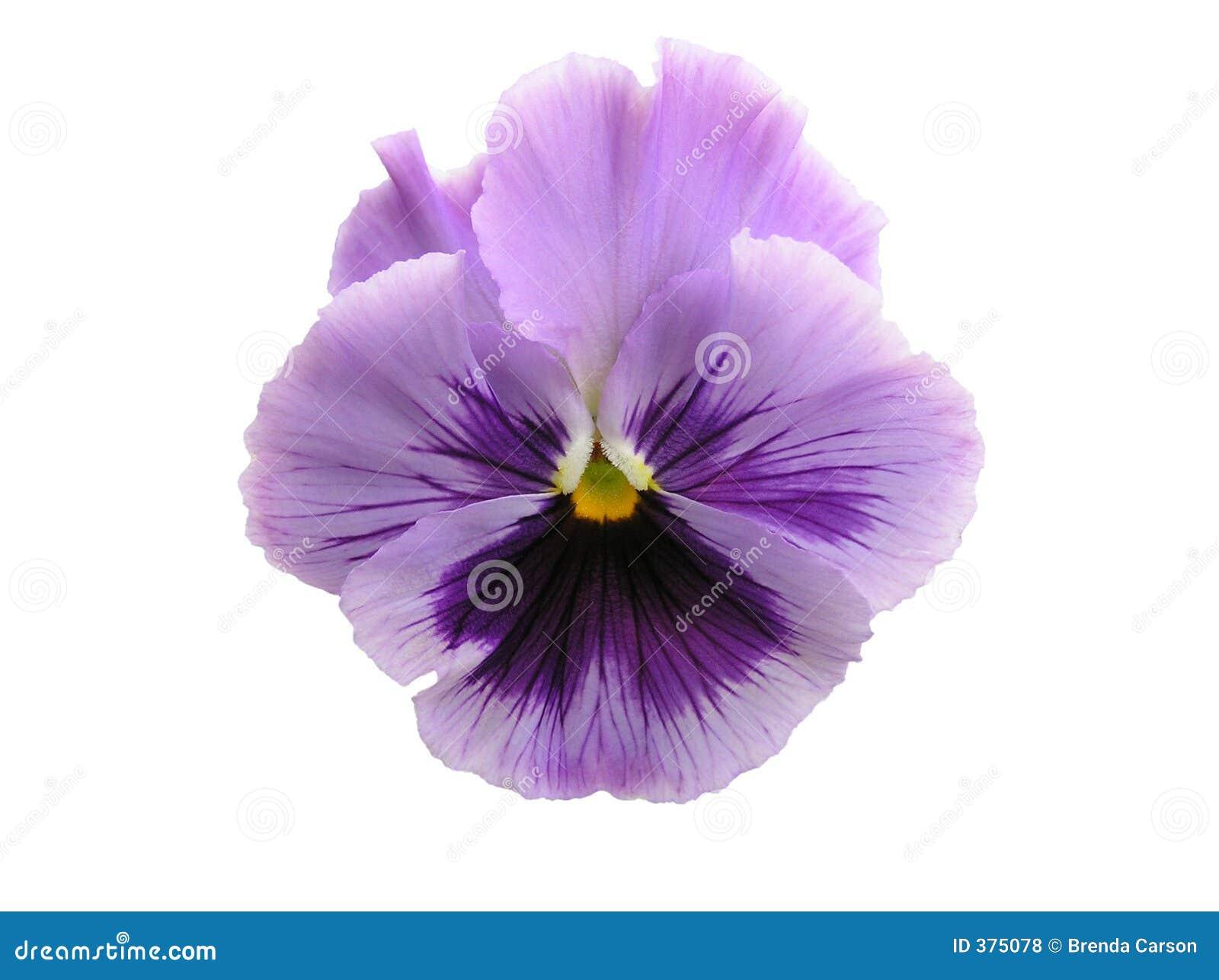 απομονωμένο lavender pansy