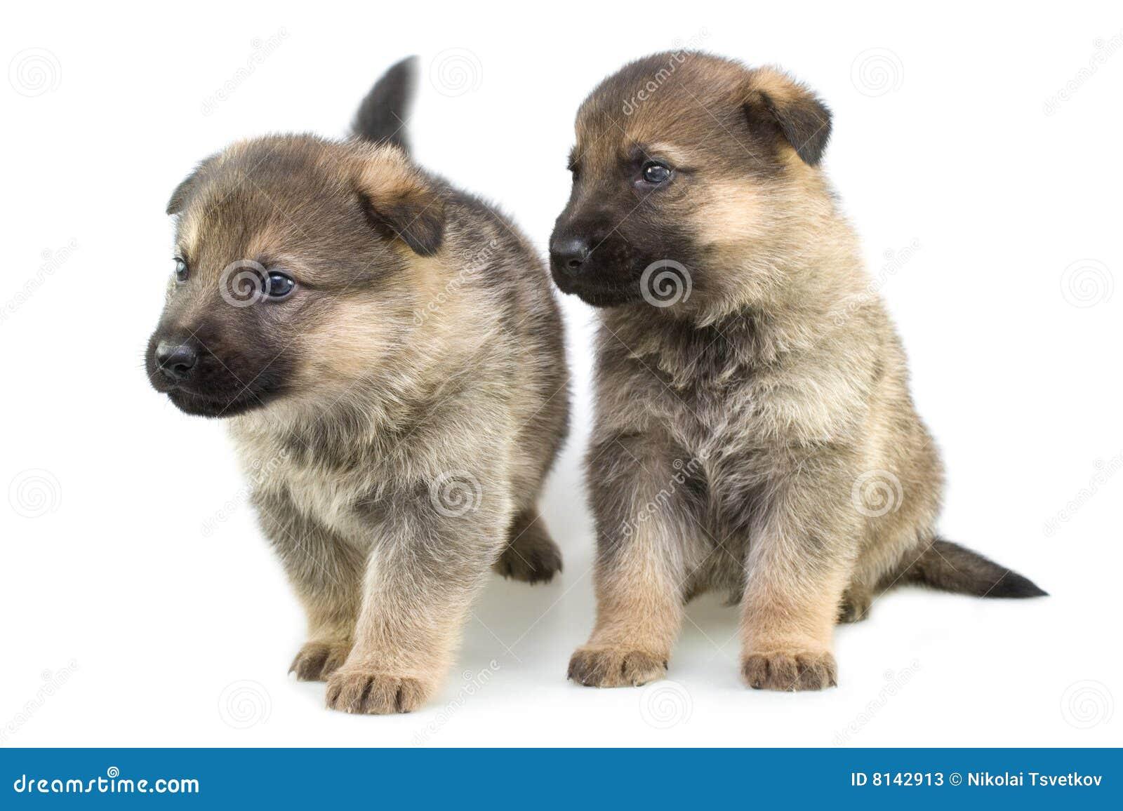 απομονωμένο puppys λευκό προβά