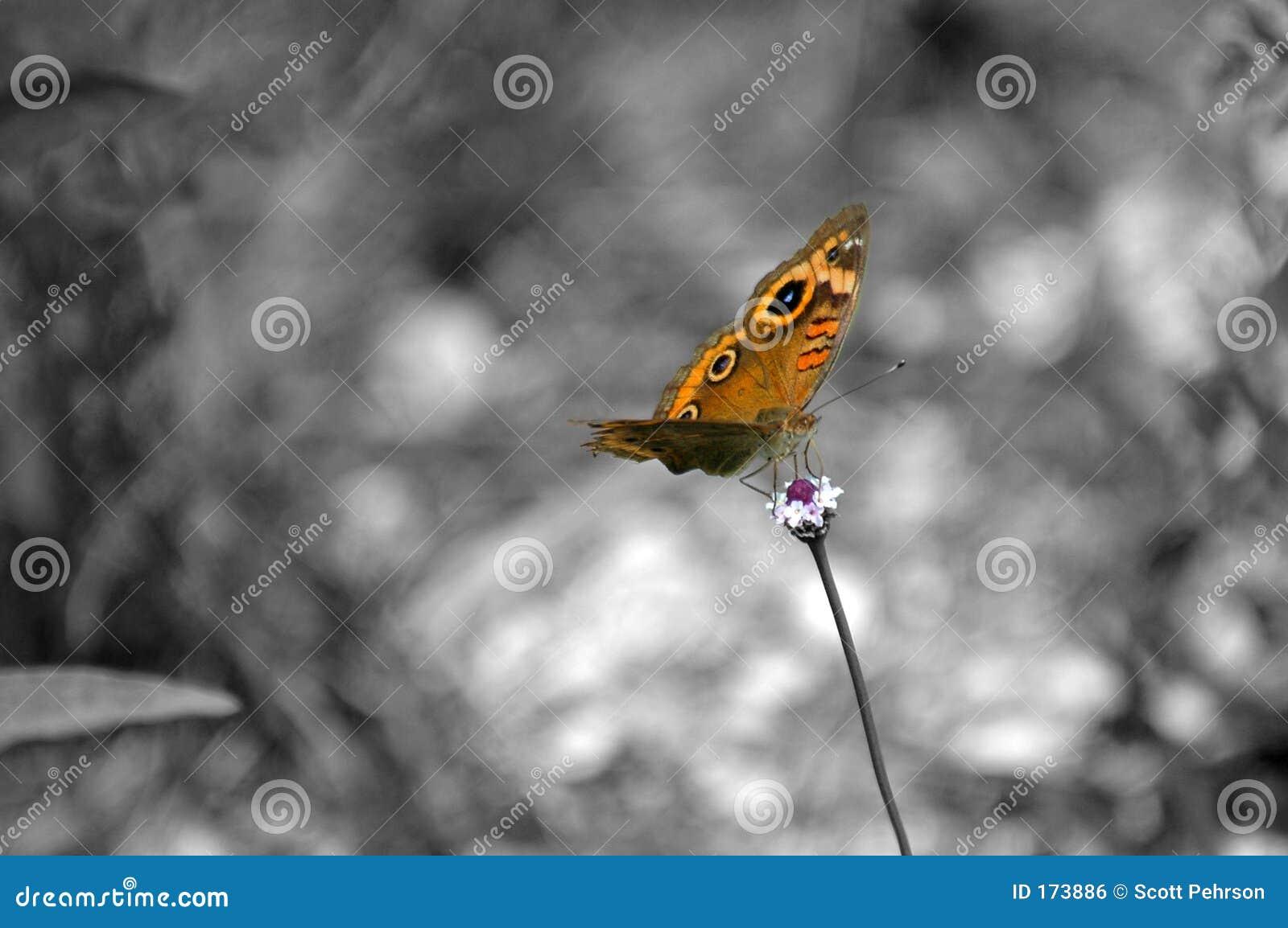απομόνωση W πεταλούδων β