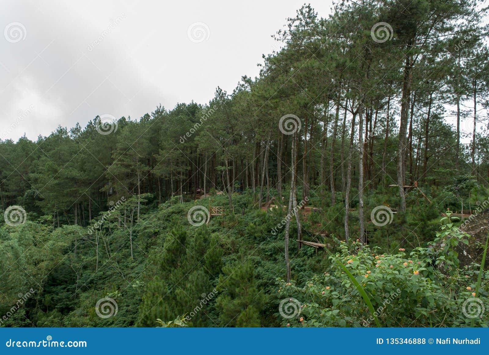 Απόψεις του δάσους πεύκων Kalilo από τη δύση