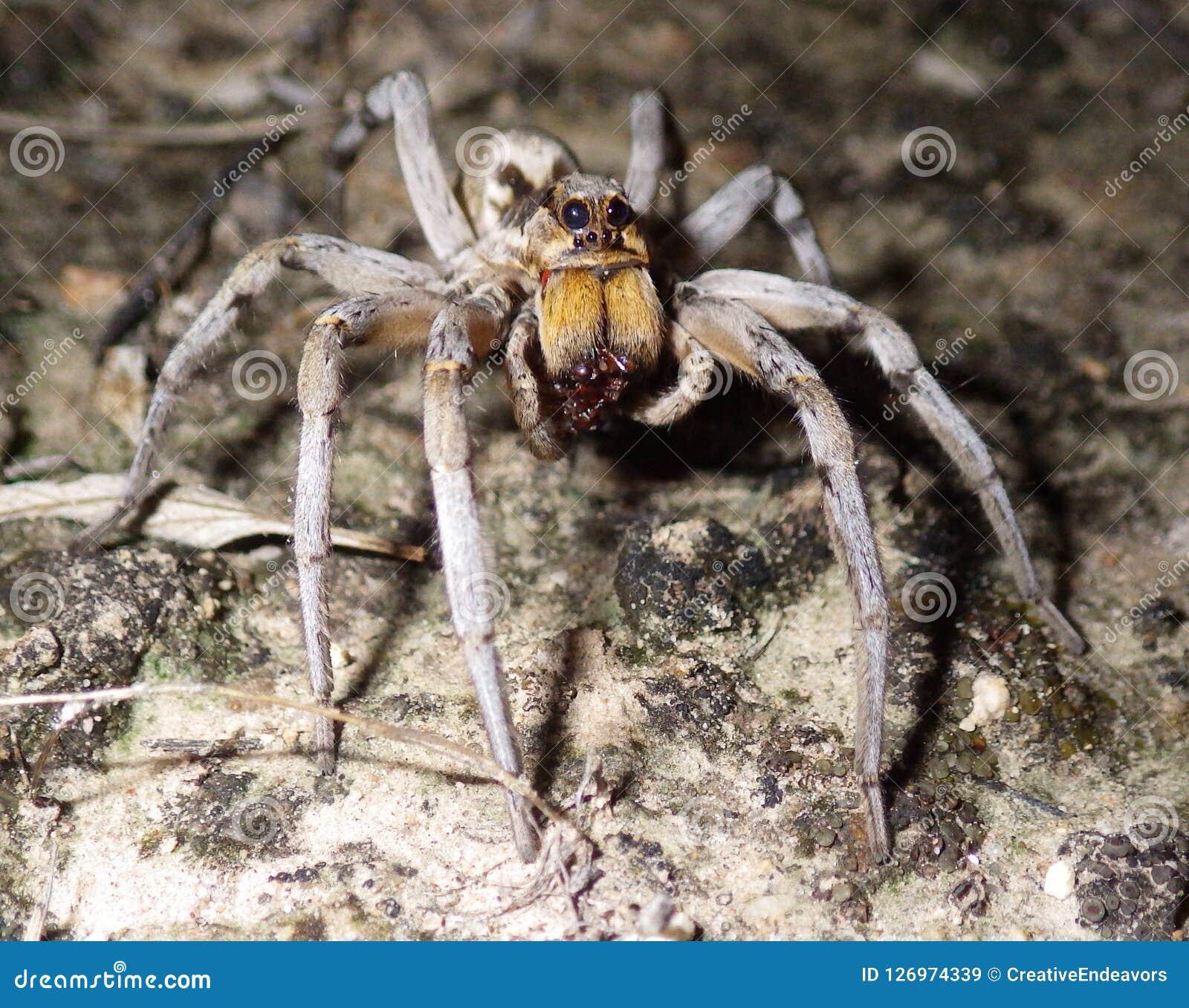 Αράχνη λύκων που απορροφά τον υγροποιημένο χυμό από τη Shell του θηράματος