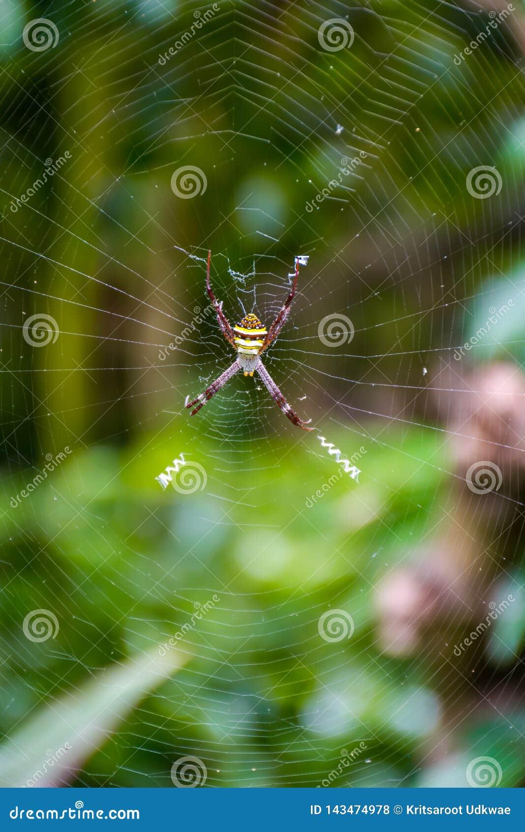 Αράχνη με τα μακριά πόδια στον Ιστό σε έναν κήπο