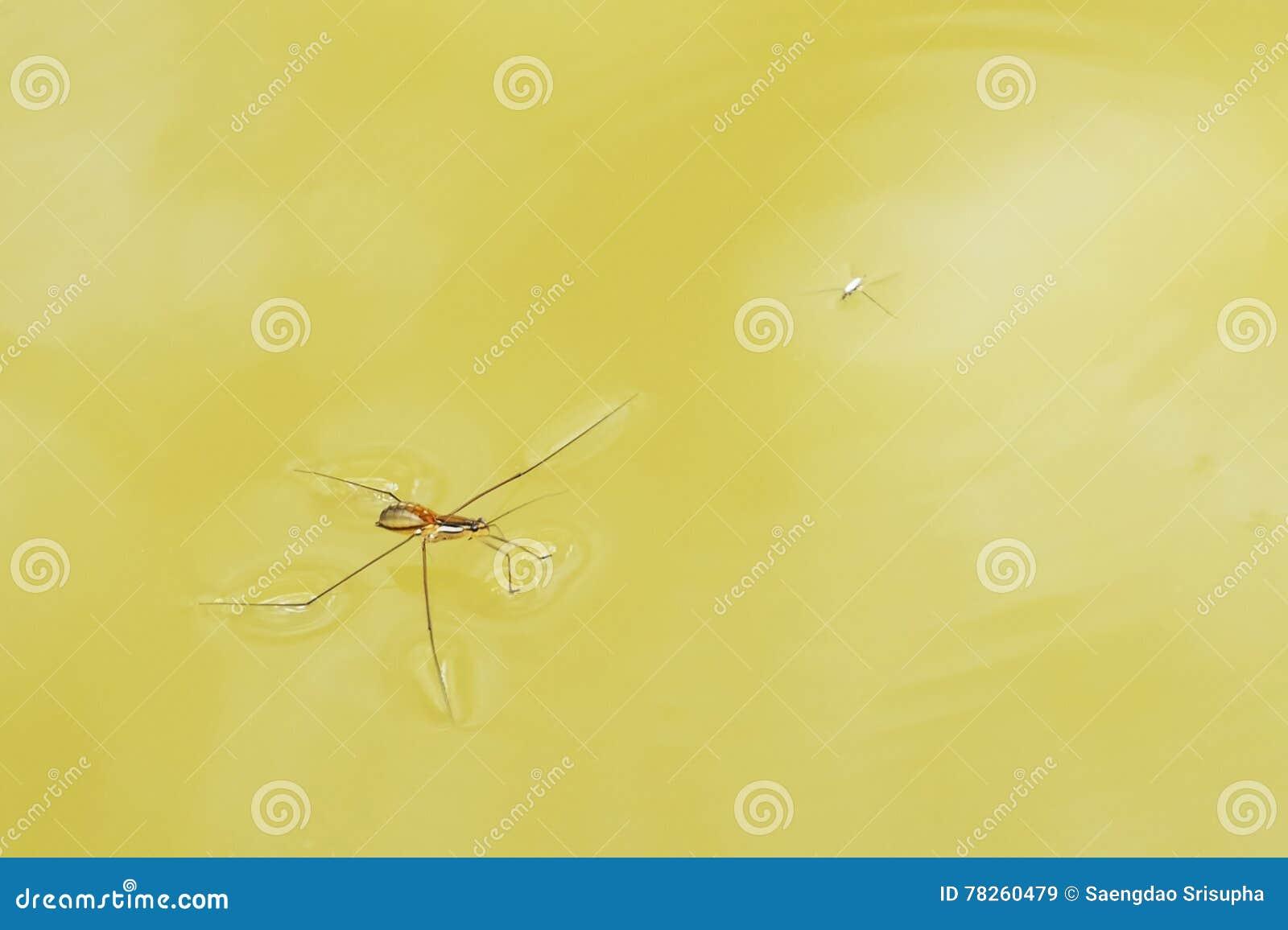 Αράχνη νερού