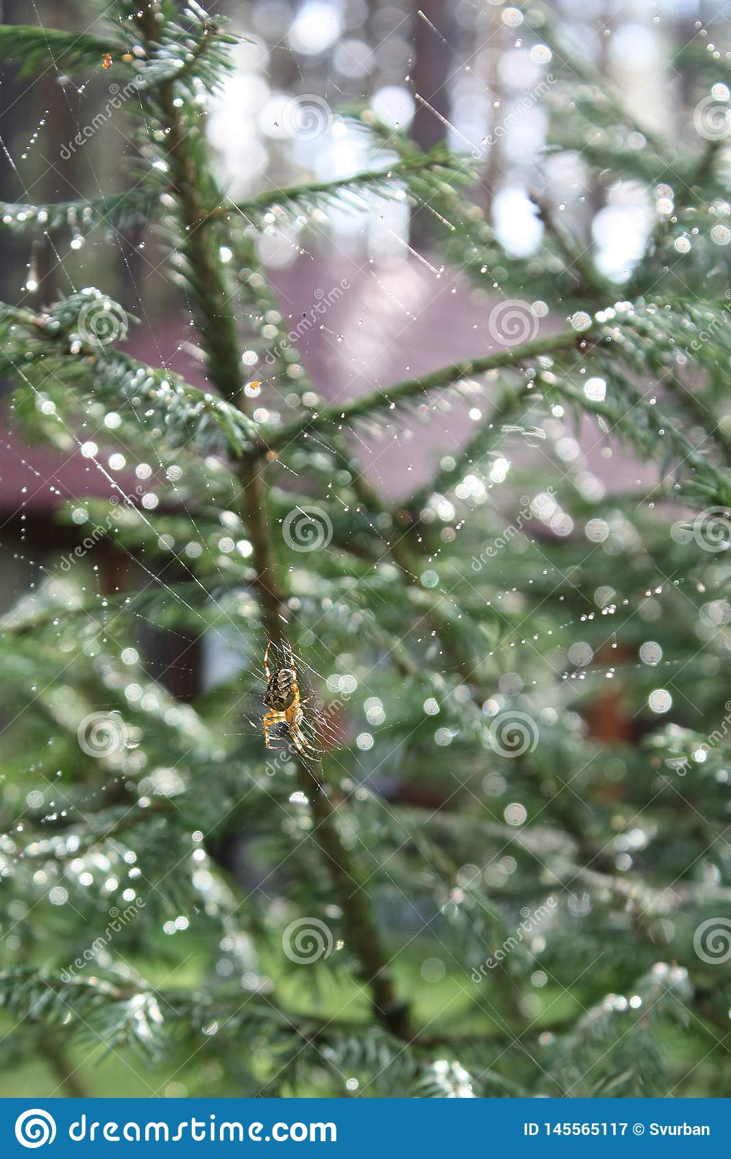 Αράχνη στον Ιστό μετά από τη βροχή