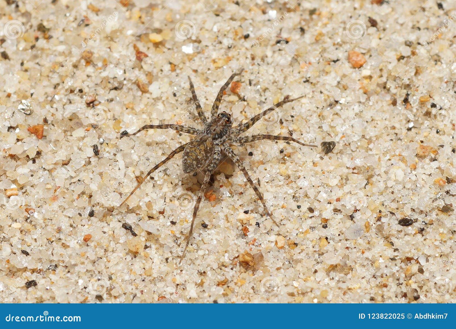 Αράχνη στο αμμοχάλικο
