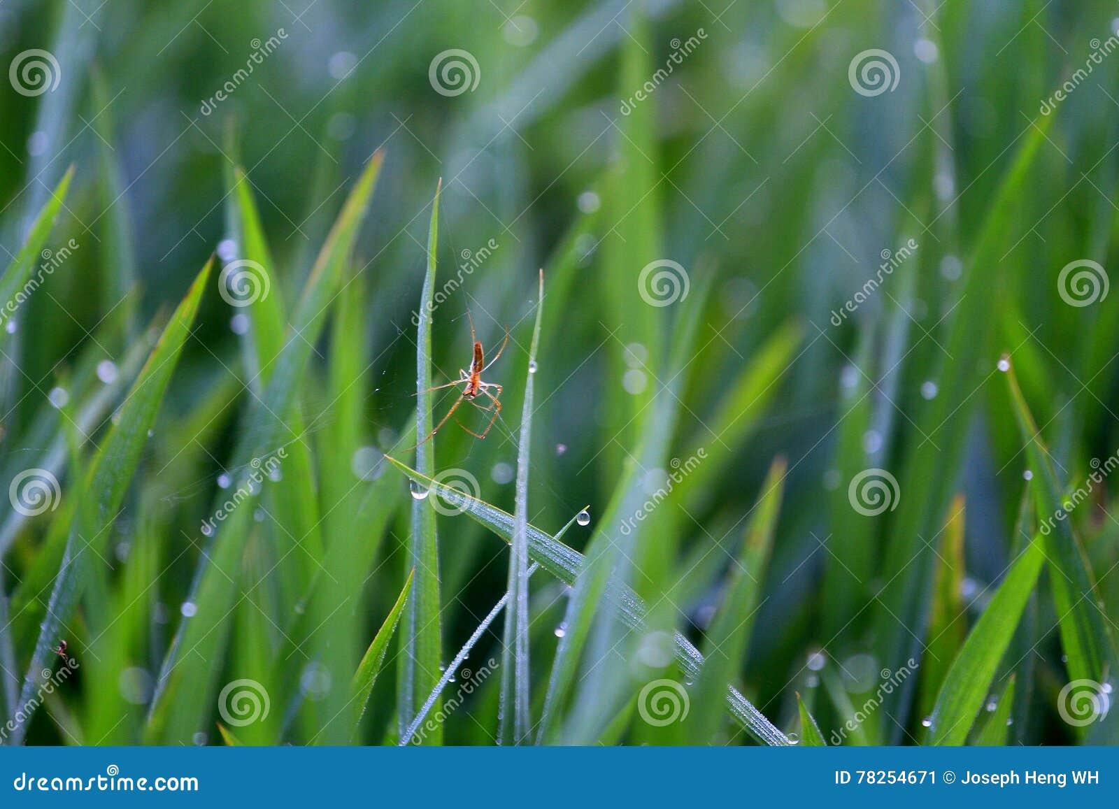 Αράχνη τομέων ορυζώνα