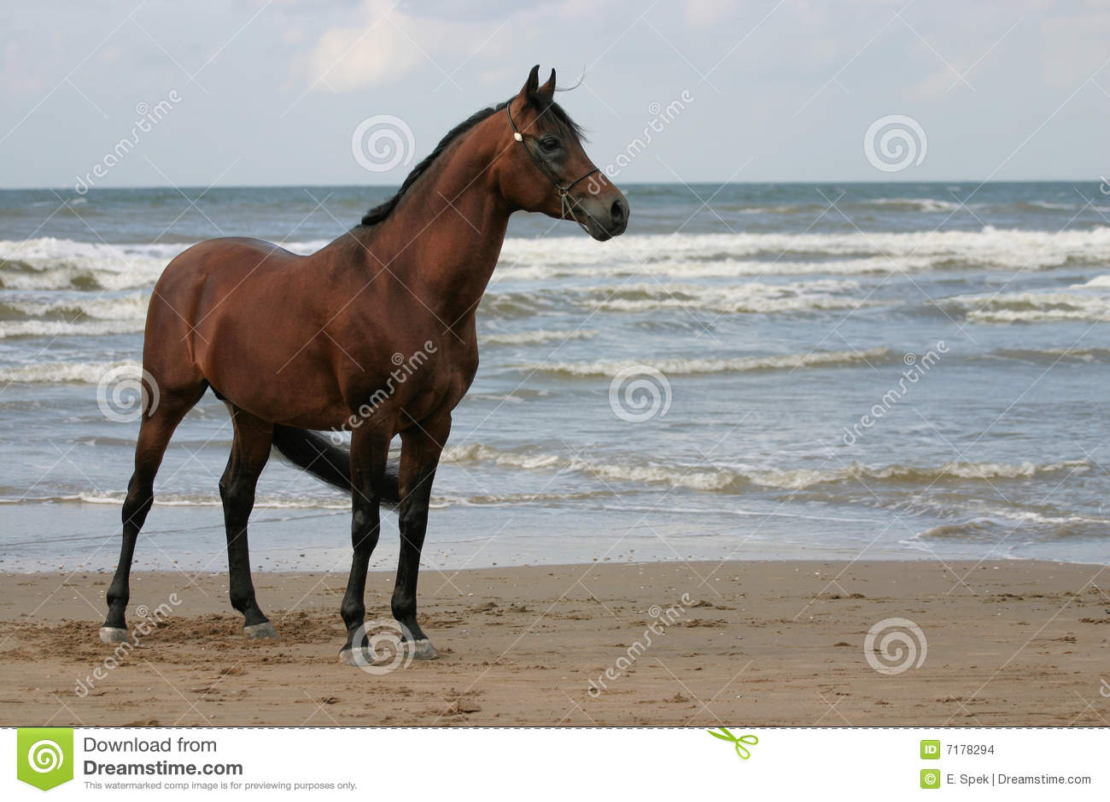 αραβικό άλογο