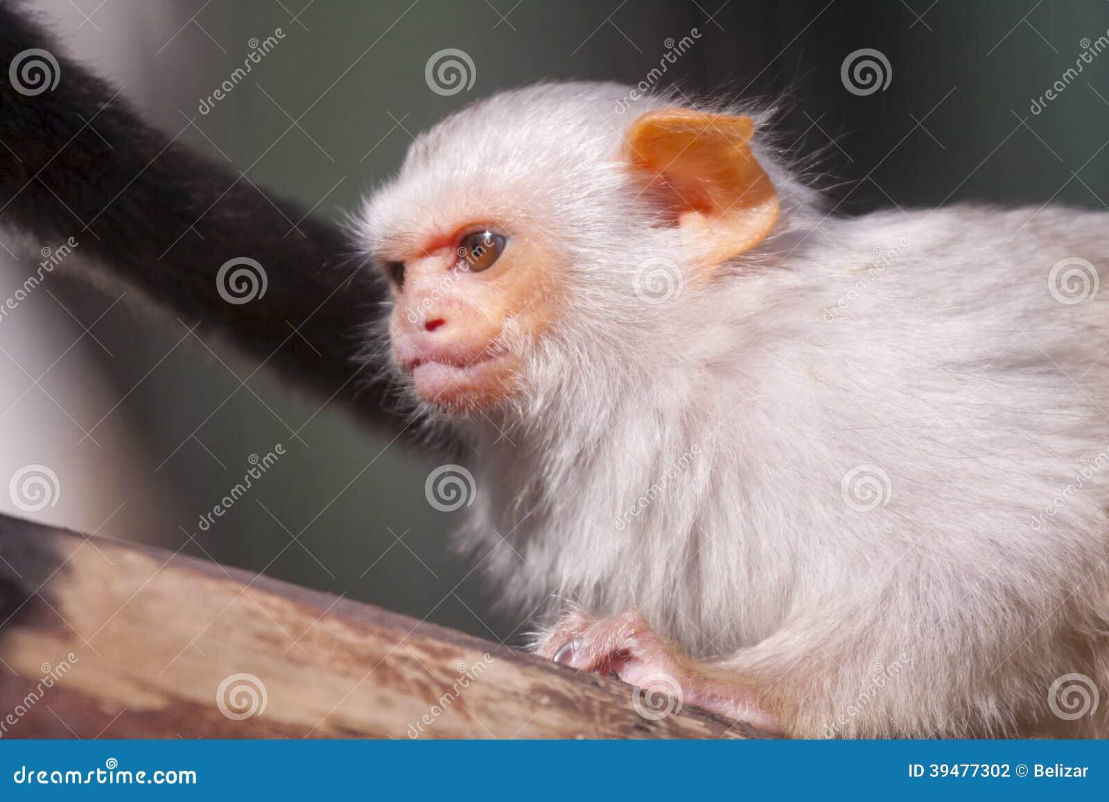 Αργυροειδές marmoset
