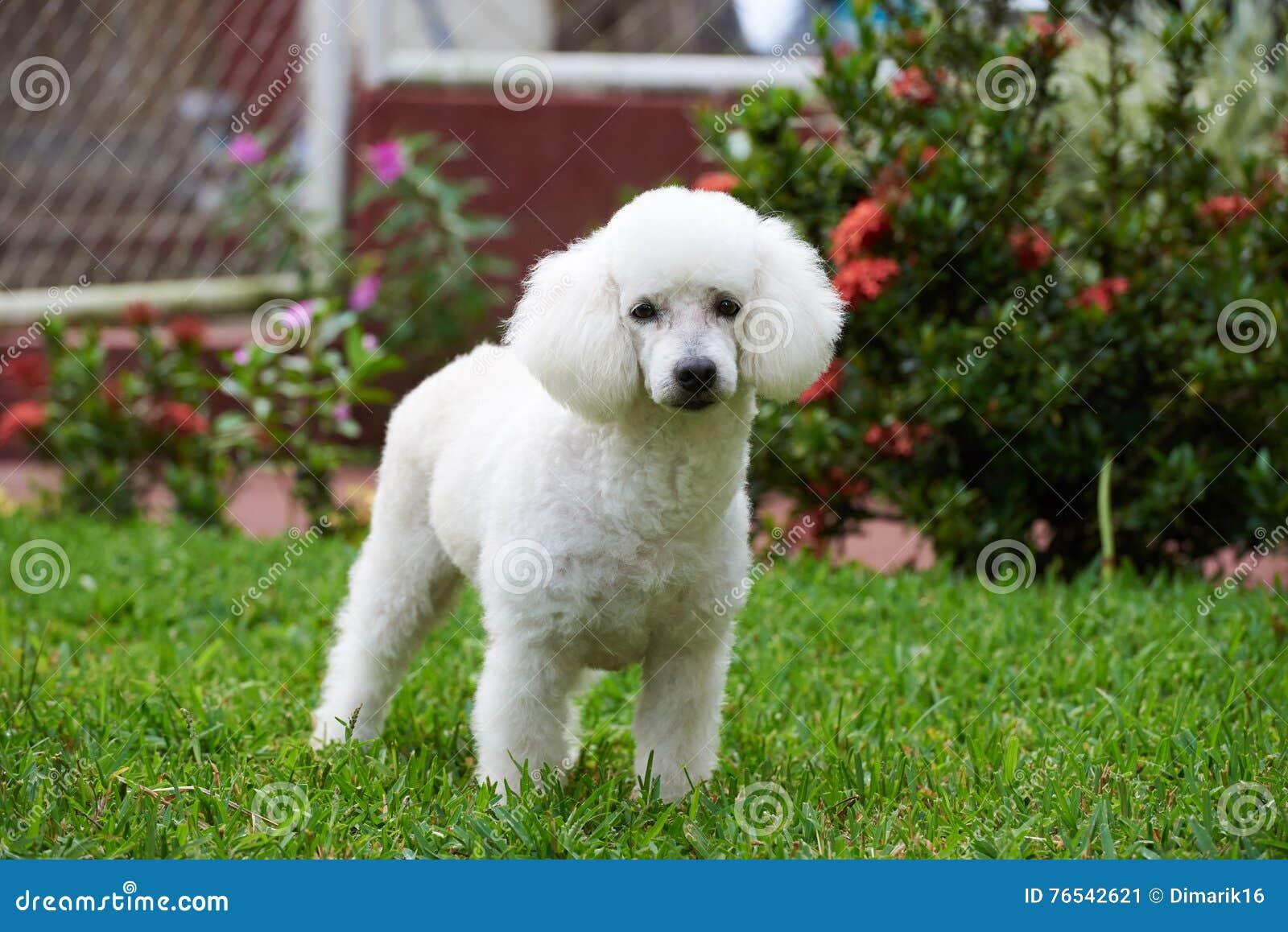 Αρκετά άσπρο γαλλικό poodle