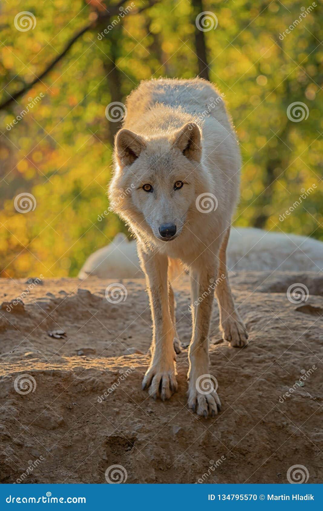 αρκτικός λύκος Λύκου canis arctos