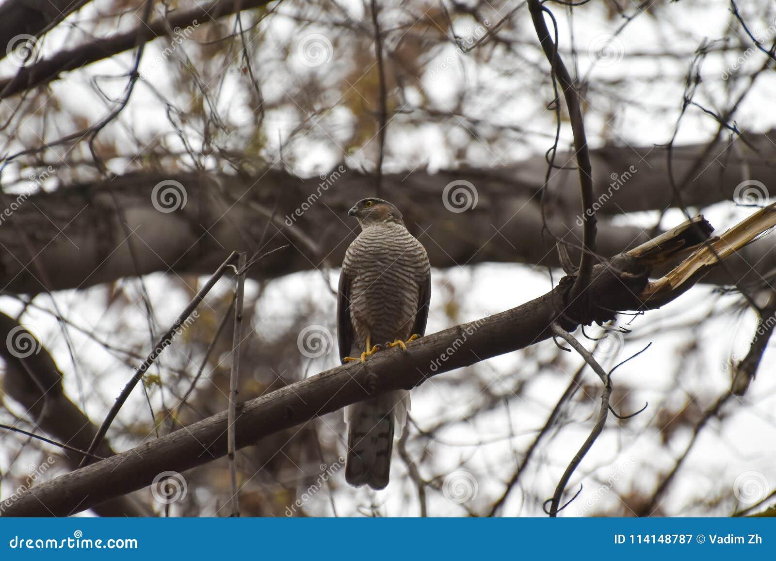 Αρπακτικό πουλί, που κάθεται σε ένα δέντρο