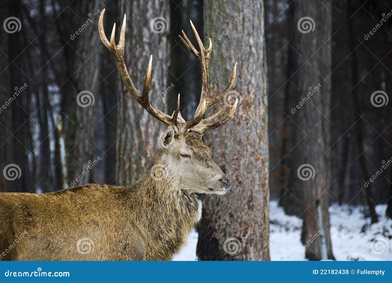 αρσενικά δάση ελαφιών ελ&alp