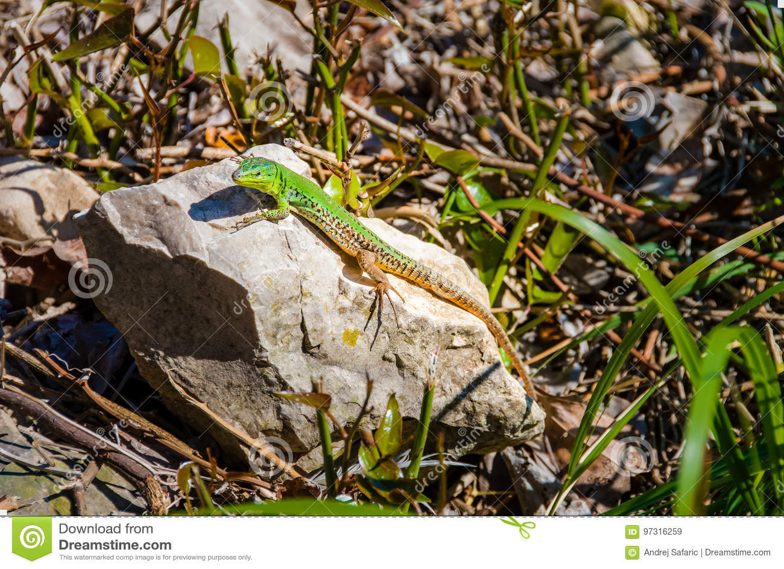 Αρσενικά ευρωπαϊκά πράσινα viridis lacerta σαυρών σε έναν βράχο