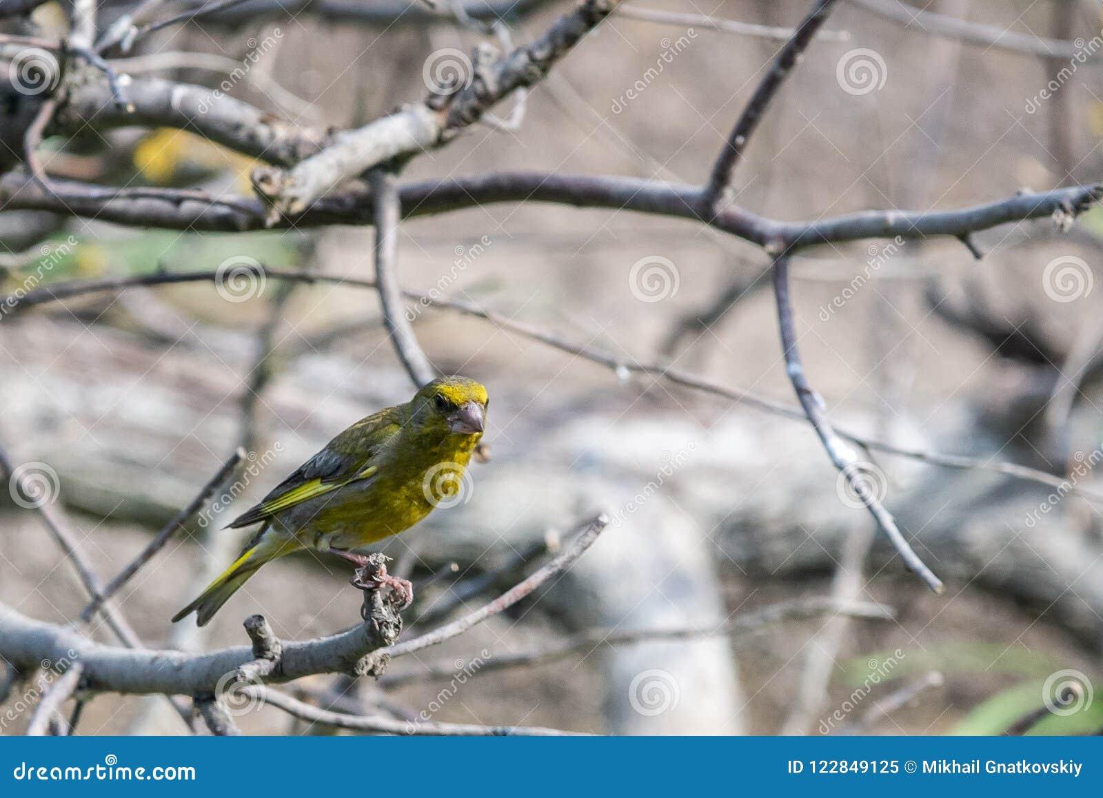 Αρσενικά ευρωπαϊκά chloris greenfinch ή chloris