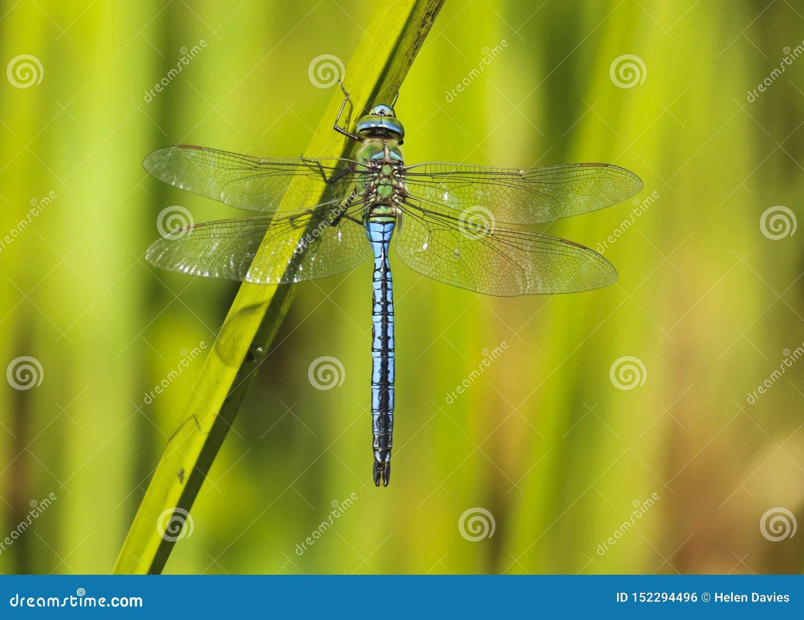 Αρσενική λιβελλούλη αυτοκρατόρων, έντομο Anax Imperator