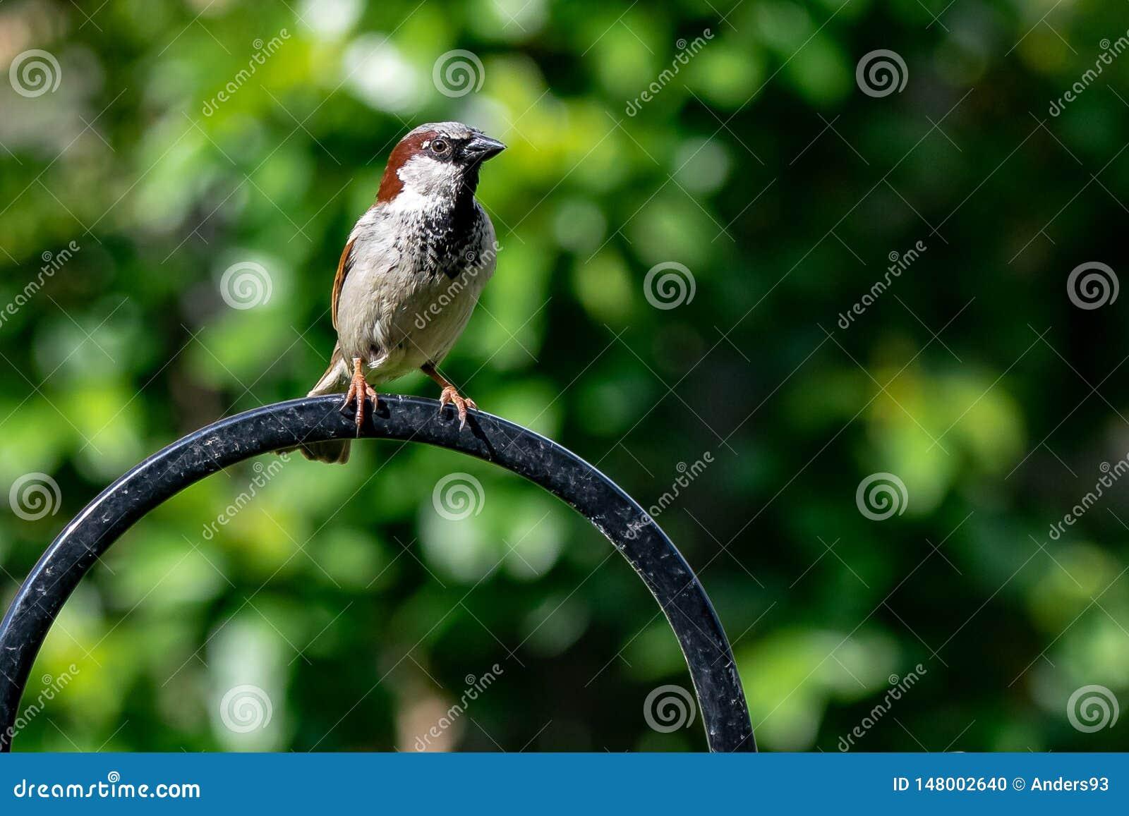 Αρσενικό άγριο πουλί domesticus πομπών σπουργιτιών σπιτιών που σκαρφαλώνει σε έναν τροφοδότη κήπων