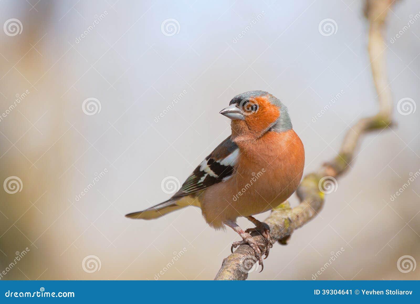 Αρσενικό δάσος chaffinch την άνοιξη