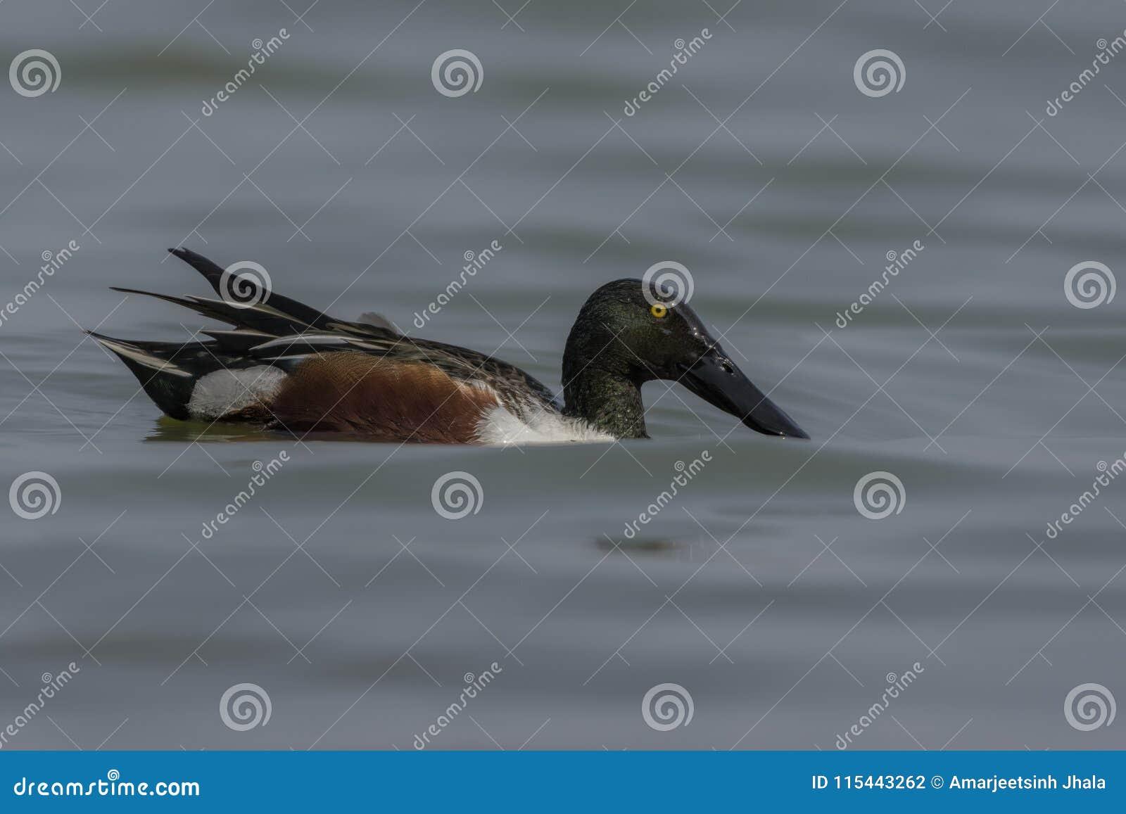 Αρσενικό βόρειο Anas χουλιαράδων clypeata στη λίμνη