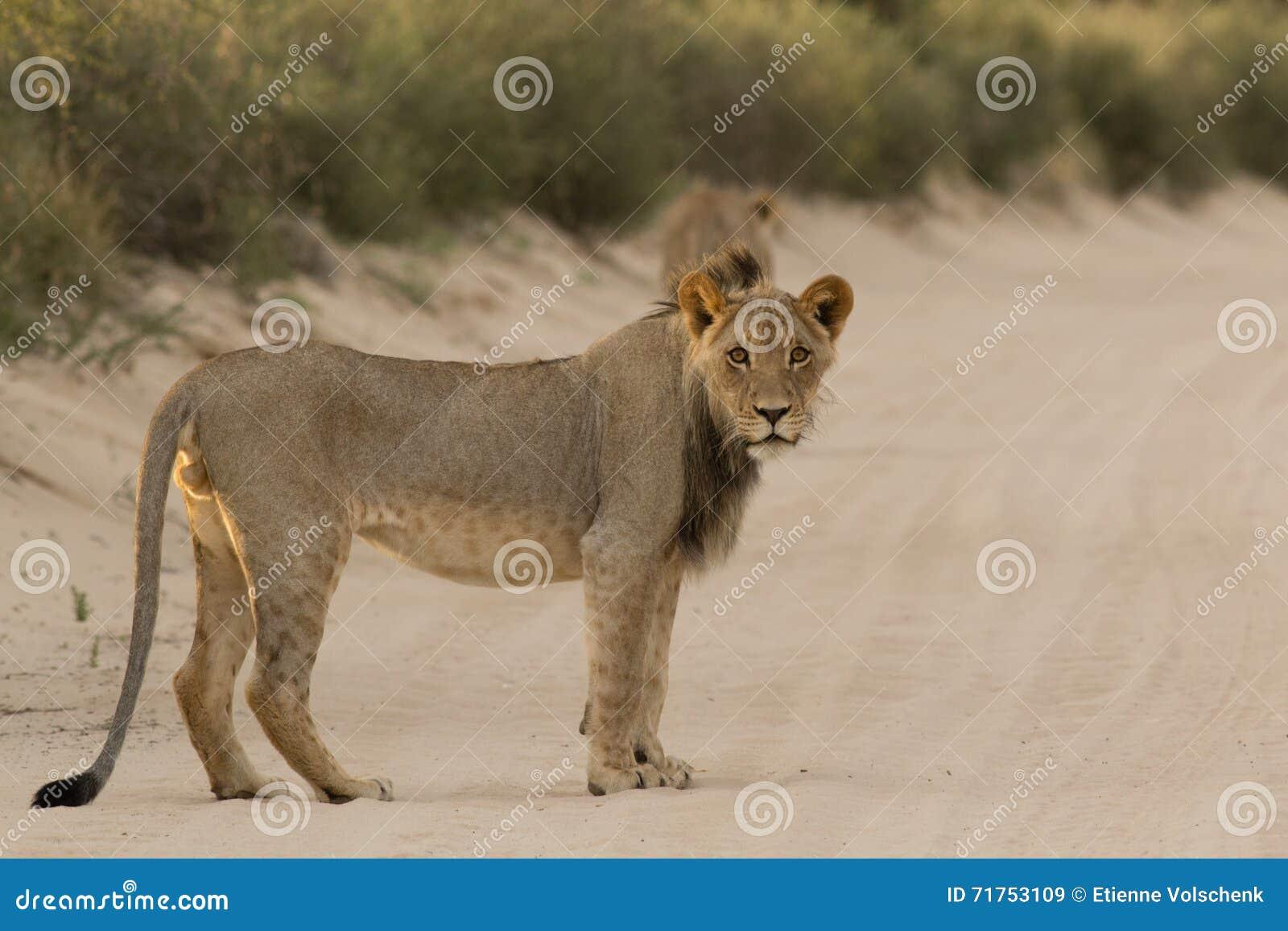 Αρσενικό λιοντάρι της Καλαχάρης