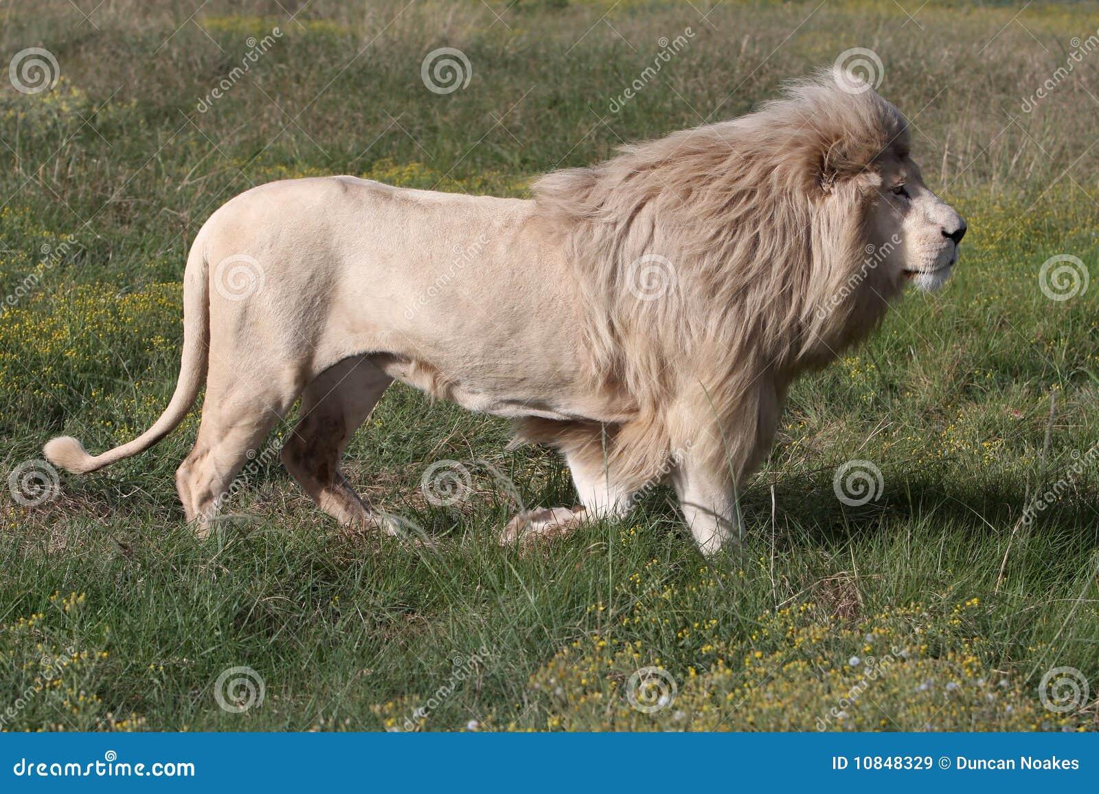 αρσενικό λευκό λιονταρ&iot