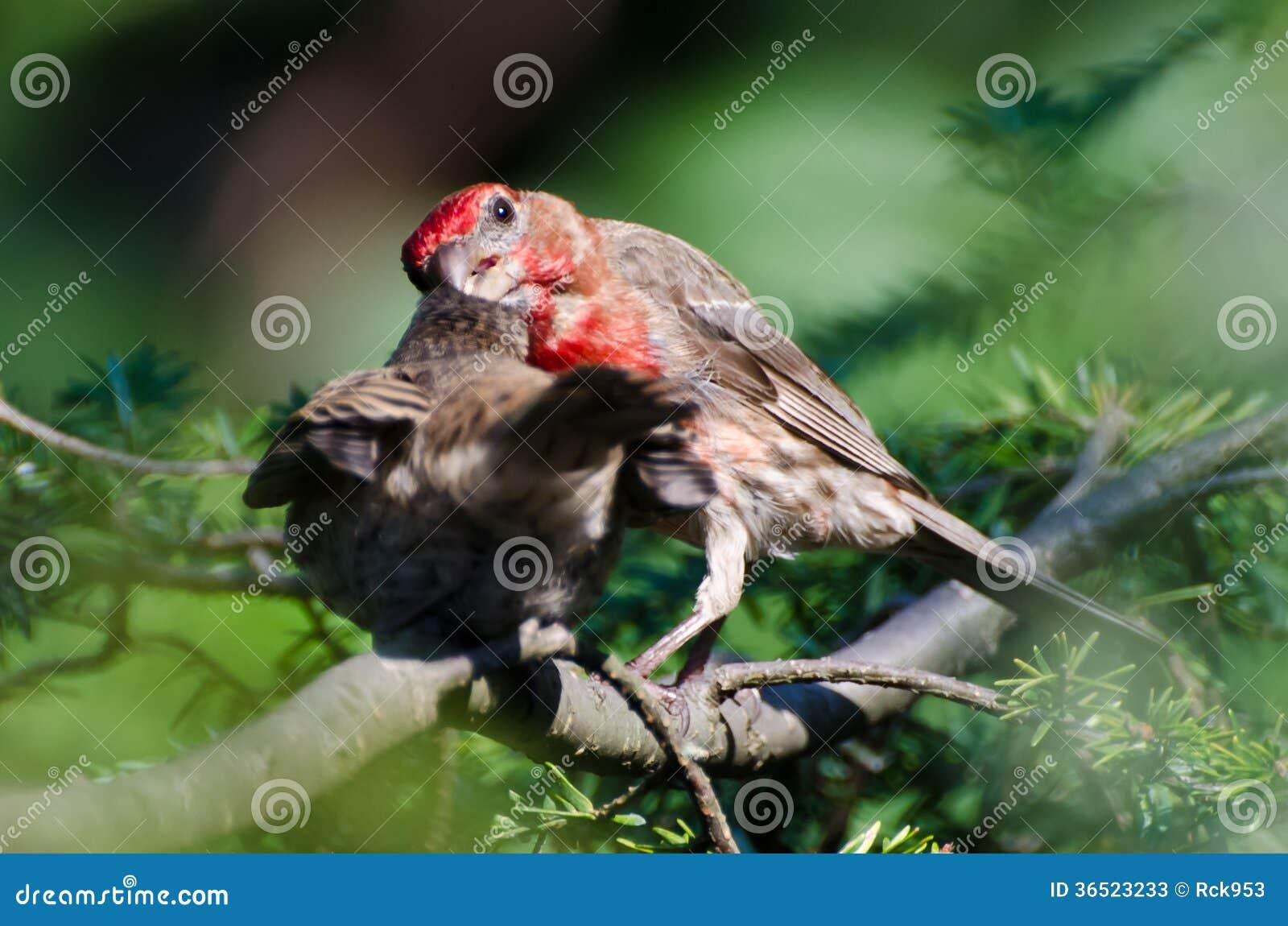 Αρσενικό Finch σπιτιών που ταΐζει τις νεολαίες του