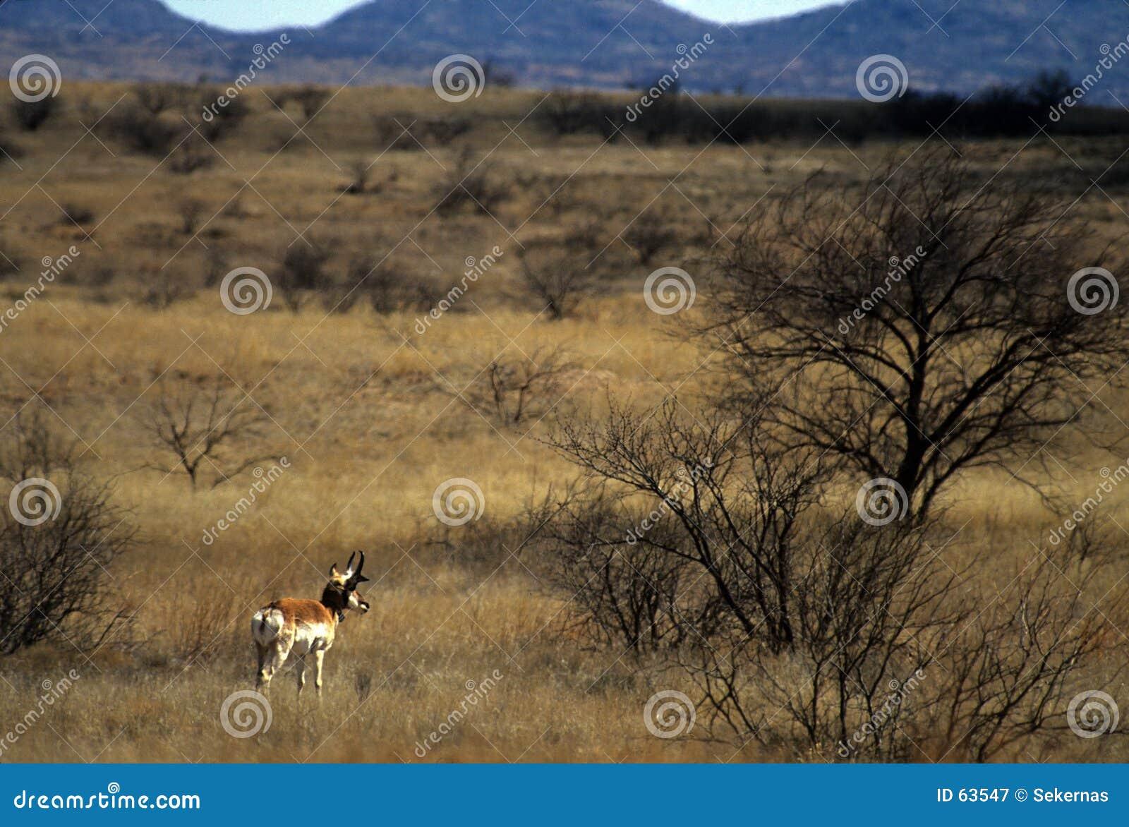 αρσενικό pronghorn