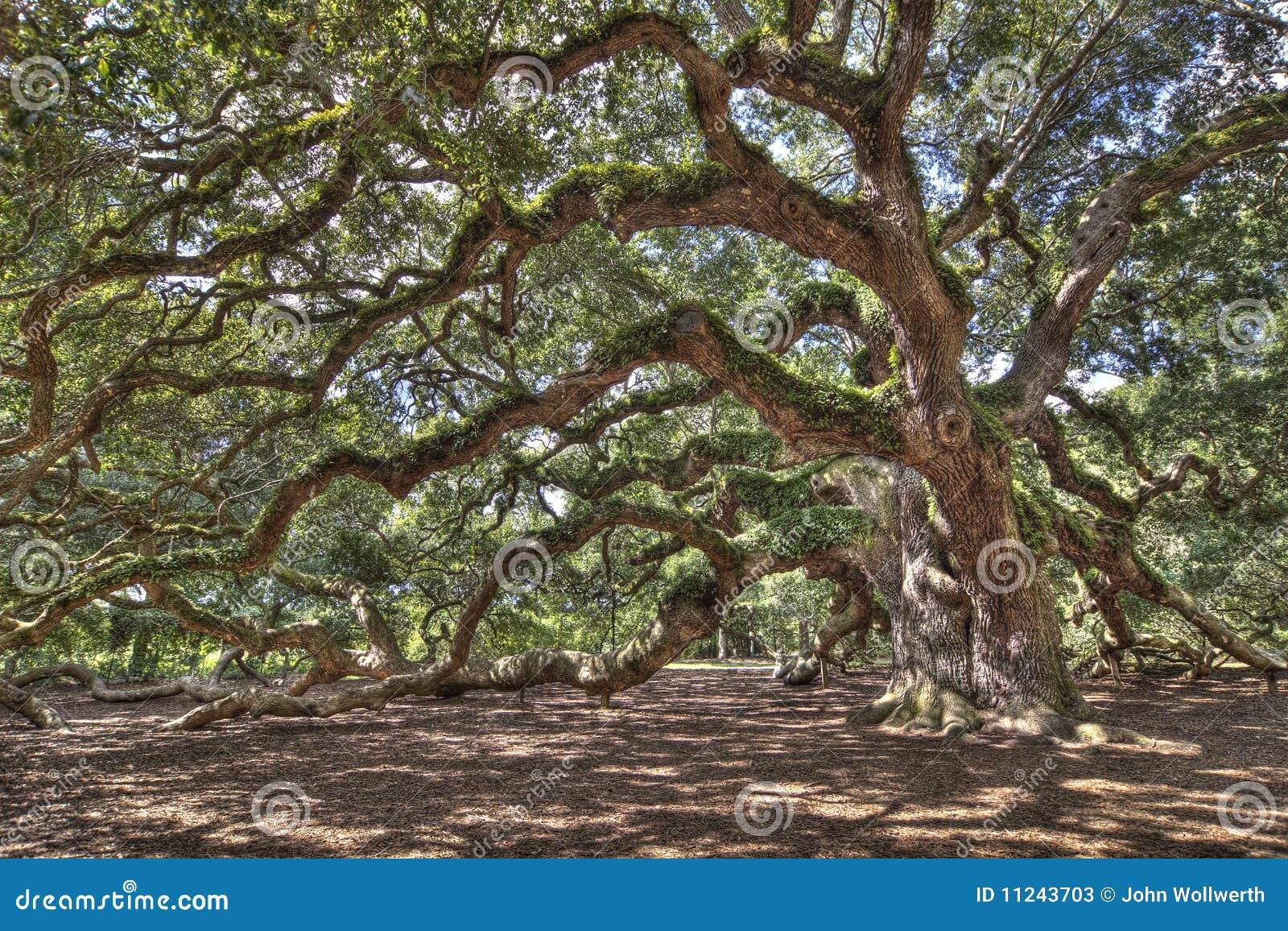 αρχαίο ζωντανό δρύινο δέντρ&omic