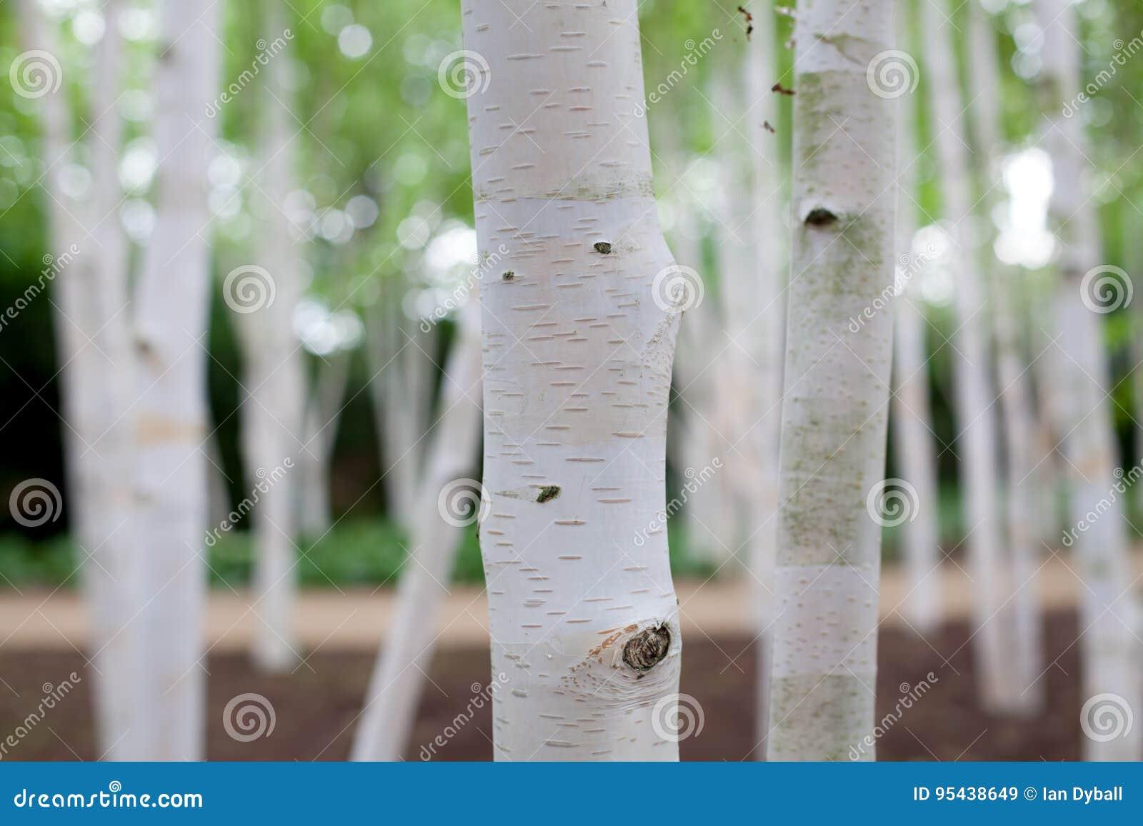 Ασημένια δασική ονειροπόλος εικόνα δέντρων κλαίουσας Σημύδας σημύδων του λευκού