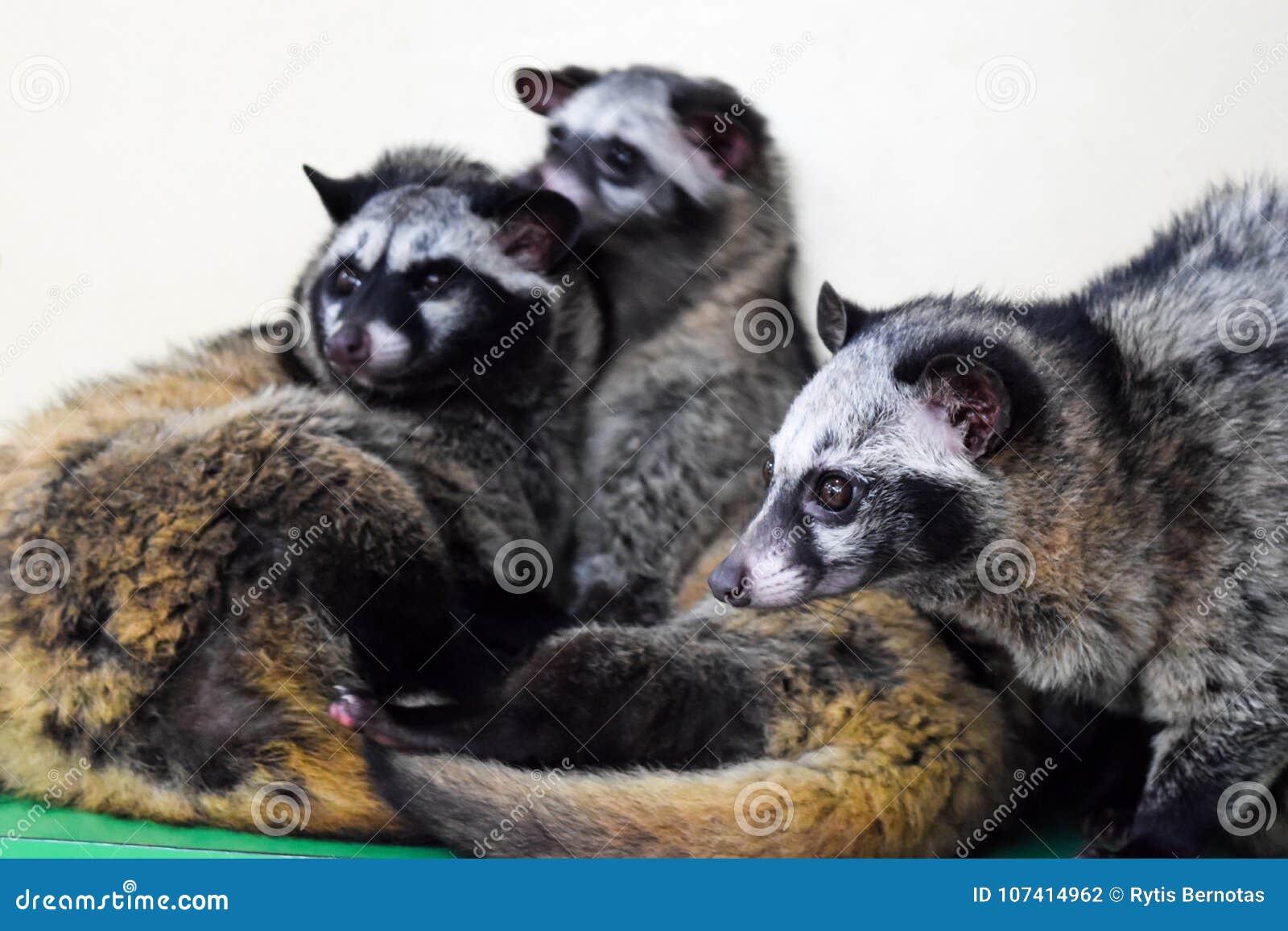 Ασιατικές μοσχογαλές φοινικών που στηρίζονται στο ζωολογικό κήπο