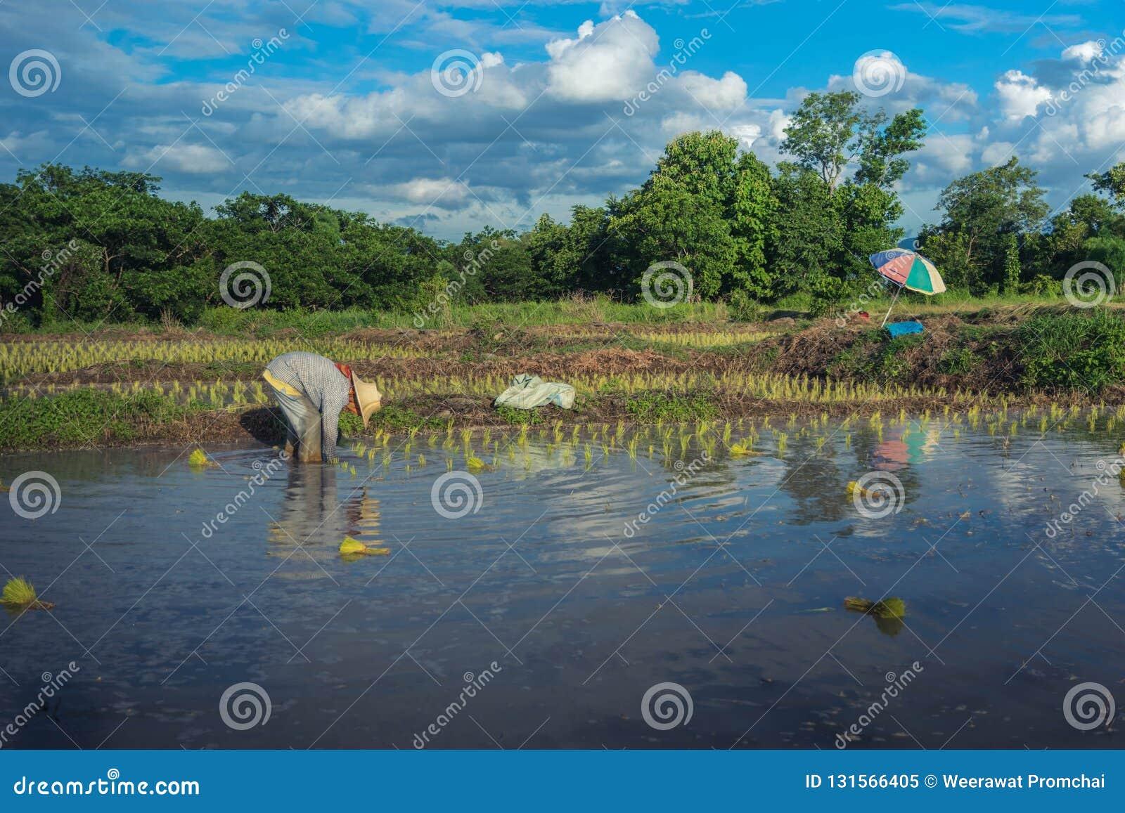 Ασιατικός αγρότης που εργάζεται στον τομέα ρυζιού