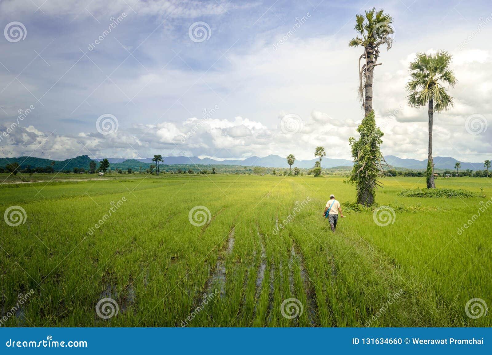 Ασιατικός αγρότης που περπατά στον τομέα ρυζιού