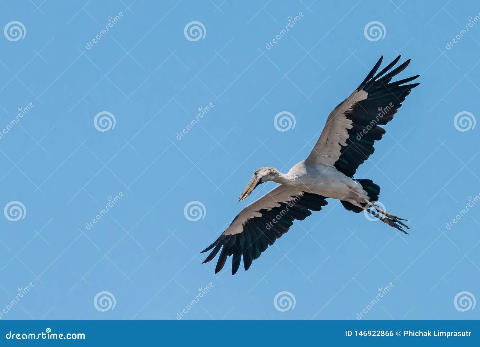 Ασιατικός πελαργός openbill που πετά με τα φτερά που διαδίδονται ευρέως με το σαφή μπλε ουρανό ως υπόβαθρο