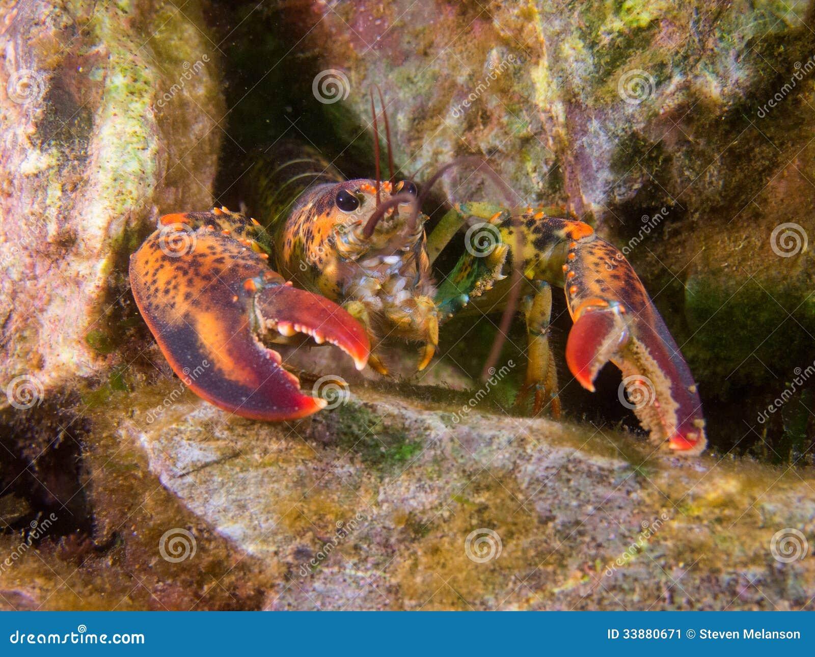 Αστακός στην κοραλλιογενή ύφαλο