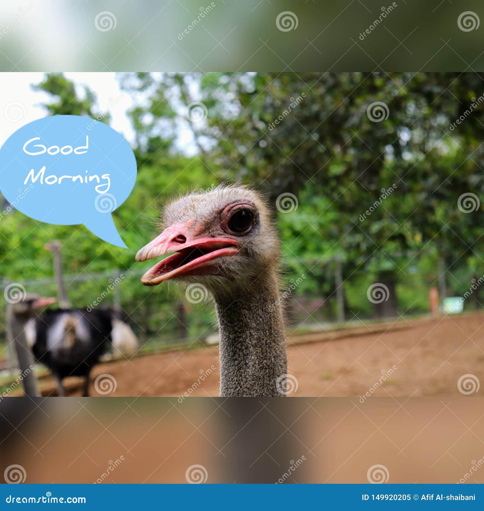 Αστεία στρουθοκάμηλος εικόνας καλημέρας