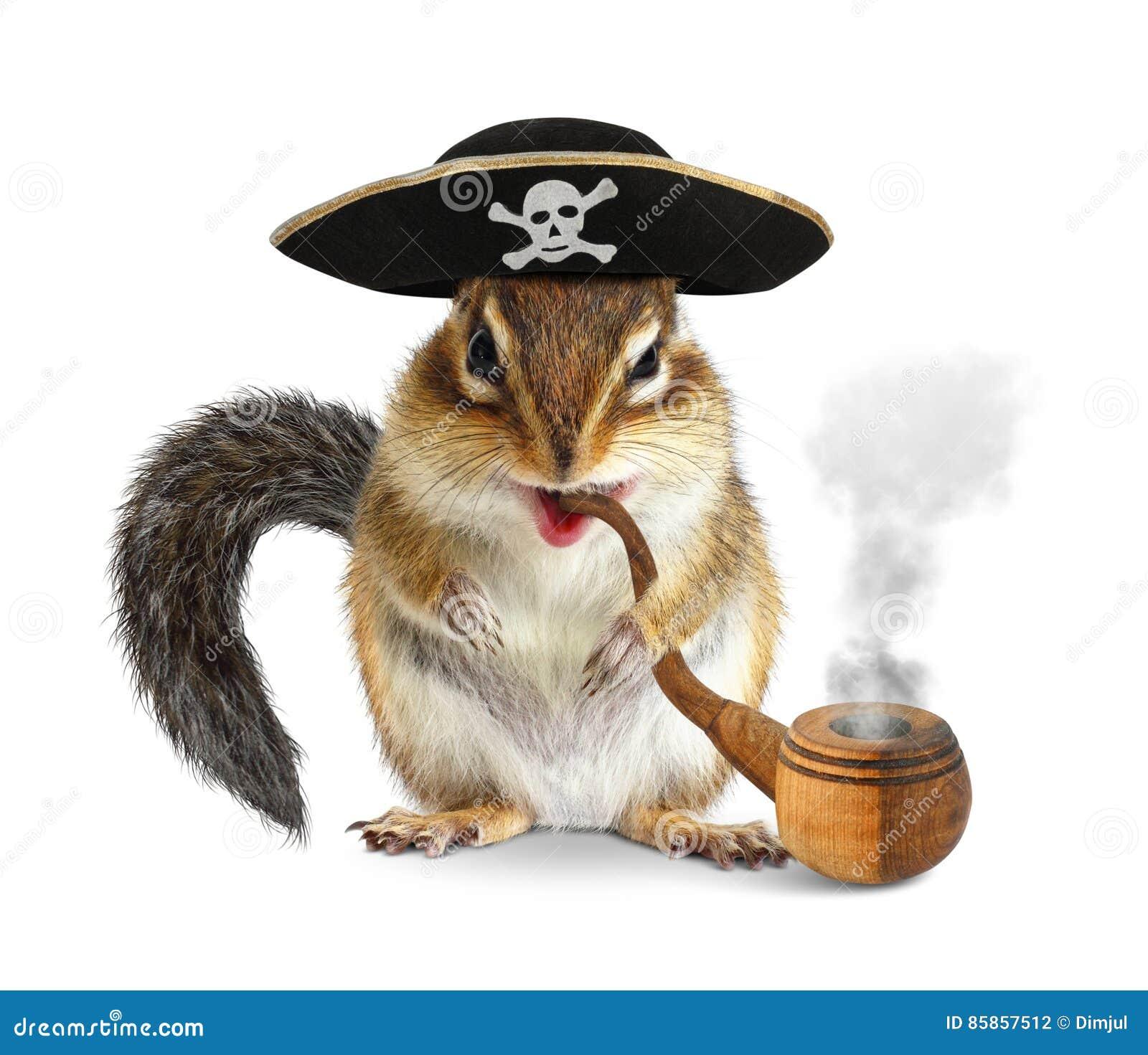Αστείος ζωικός πειρατής, chipmunk με το σωλήνα και το isola καπέλων κωλυσιεργίας