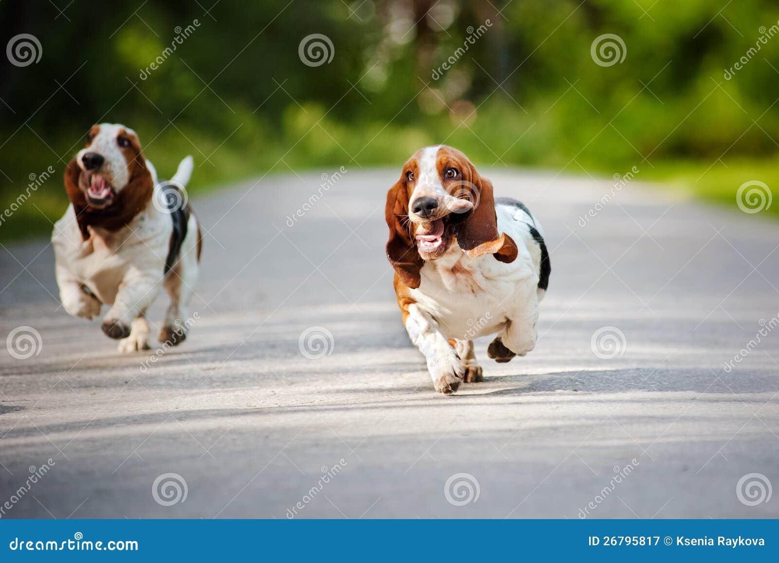 Αστείο τρέξιμο κυνηγόσκυλων μπασέ σκυλιών
